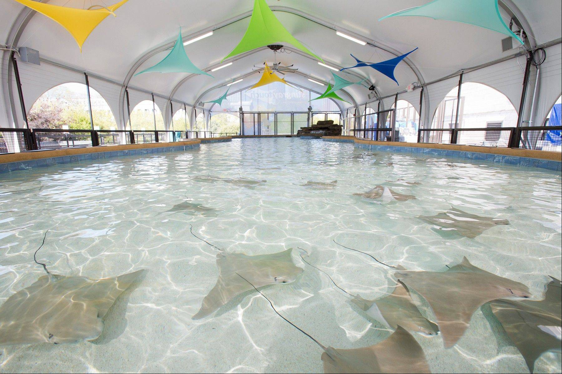 "The ""Stingray Touch"" exhibit is housed outdoors, under a tented structure, at the Shedd Aquarium. The exhibit opens to the public on Friday, May 17."