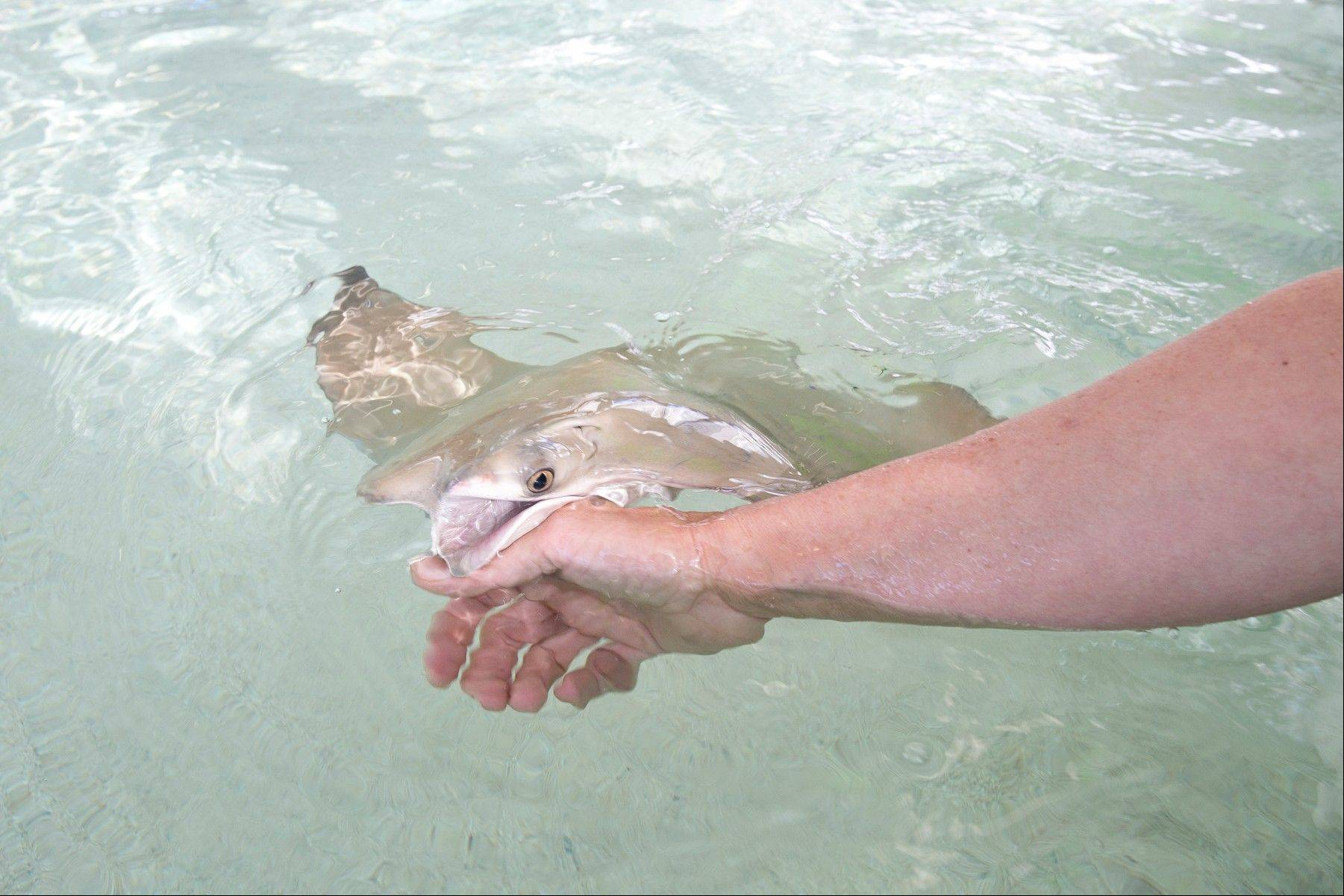 "Reach into the outdoor pool to pet a stingray at the Shedd Aquarium's new hands-on exhibit ""Stingray Touch."""
