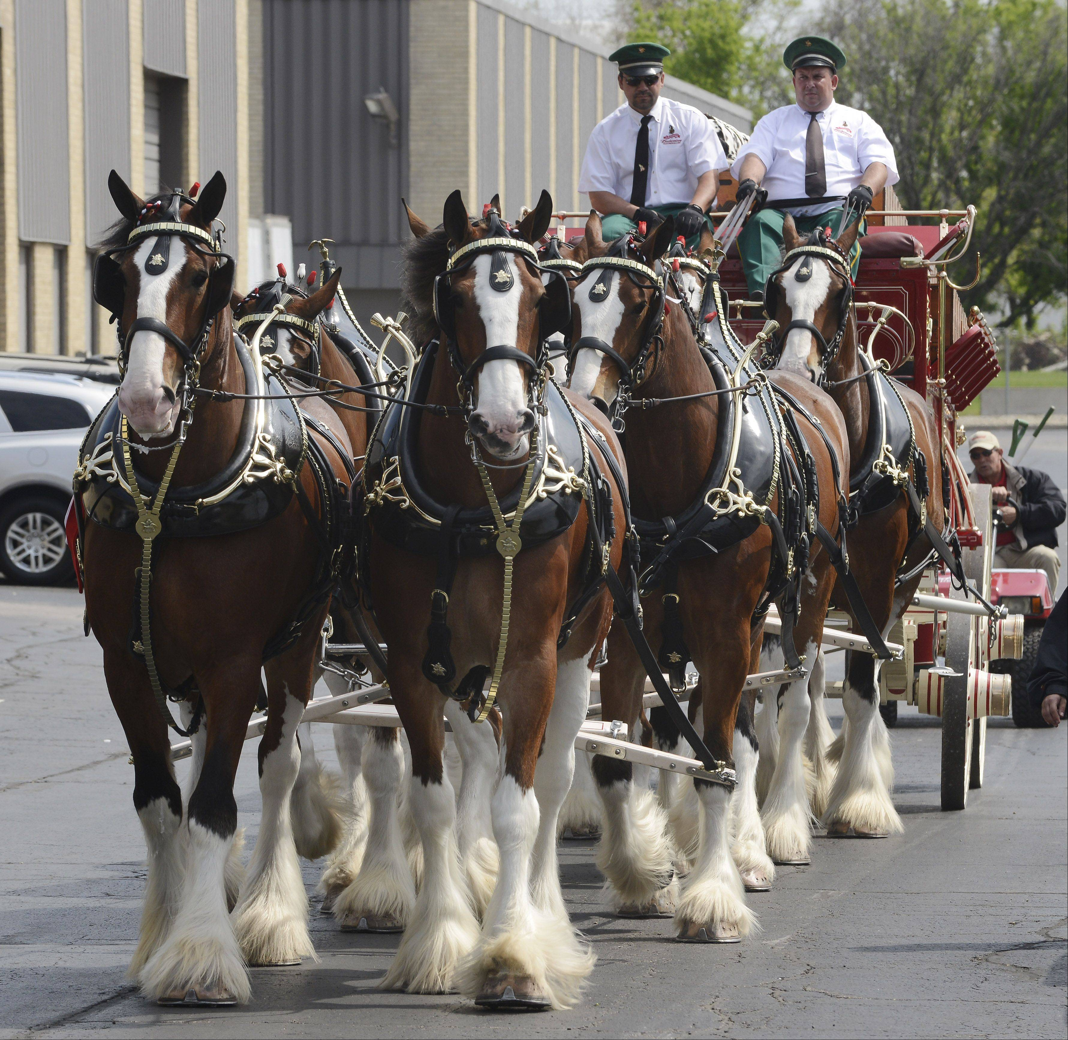 The Budweiser Clydesdale team performs for employees and their families at City Beverage in Arlington Heights.