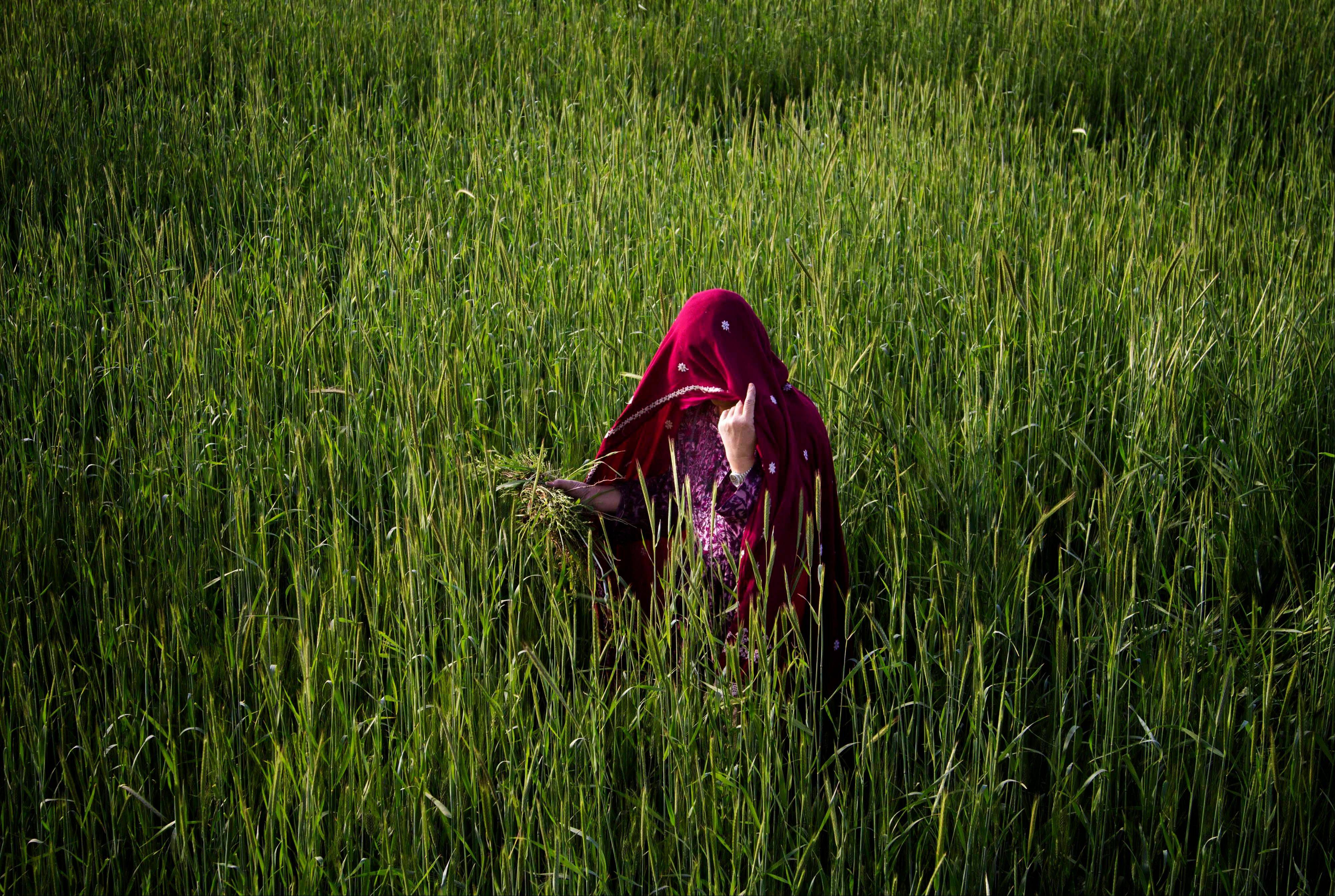 An Afghan woman harvests wheat on the outskirts of Kabul.
