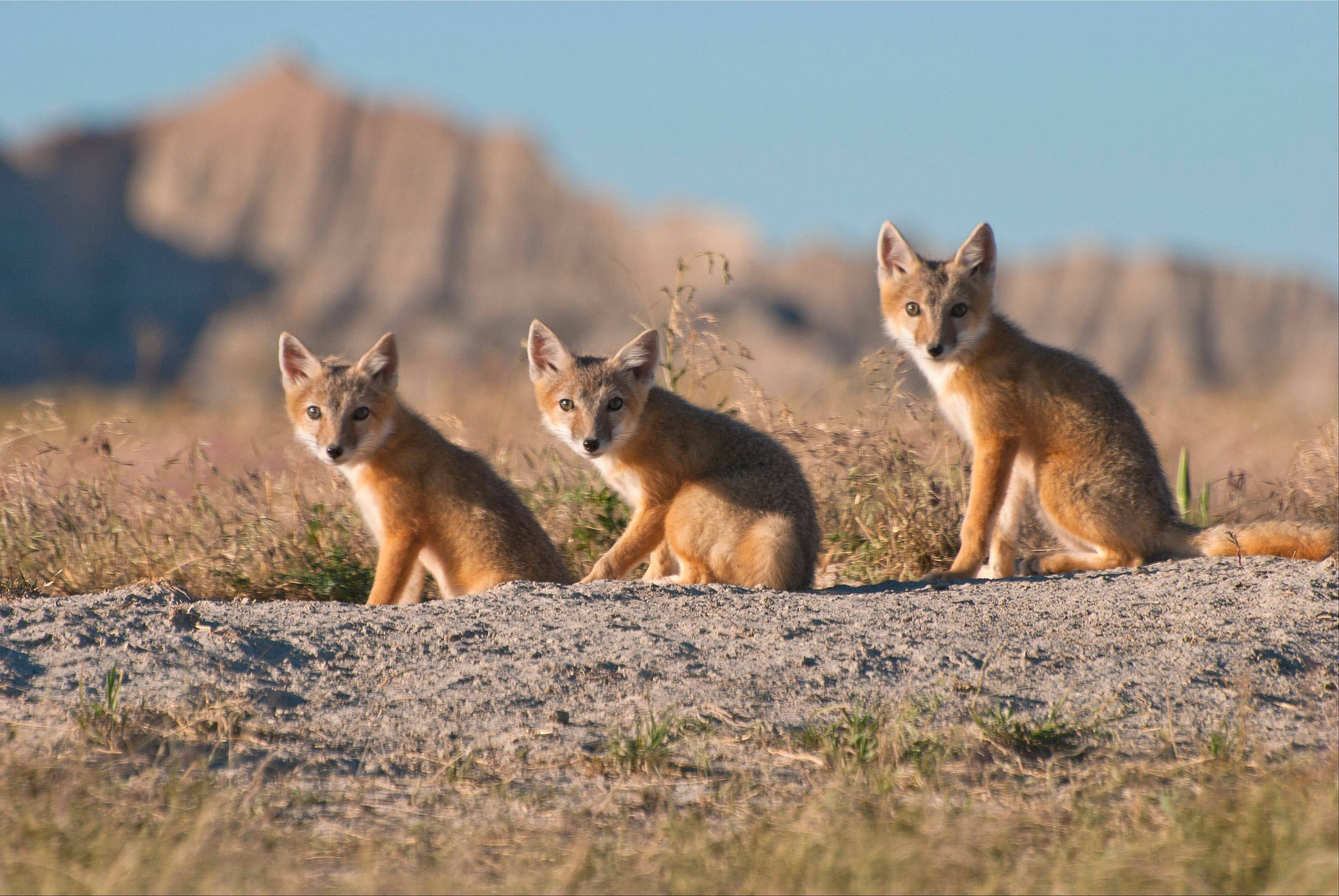 "Discovery's seven-part ""North America"" introduces viewers to the continent's many fascinating creatures, including the swift fox."