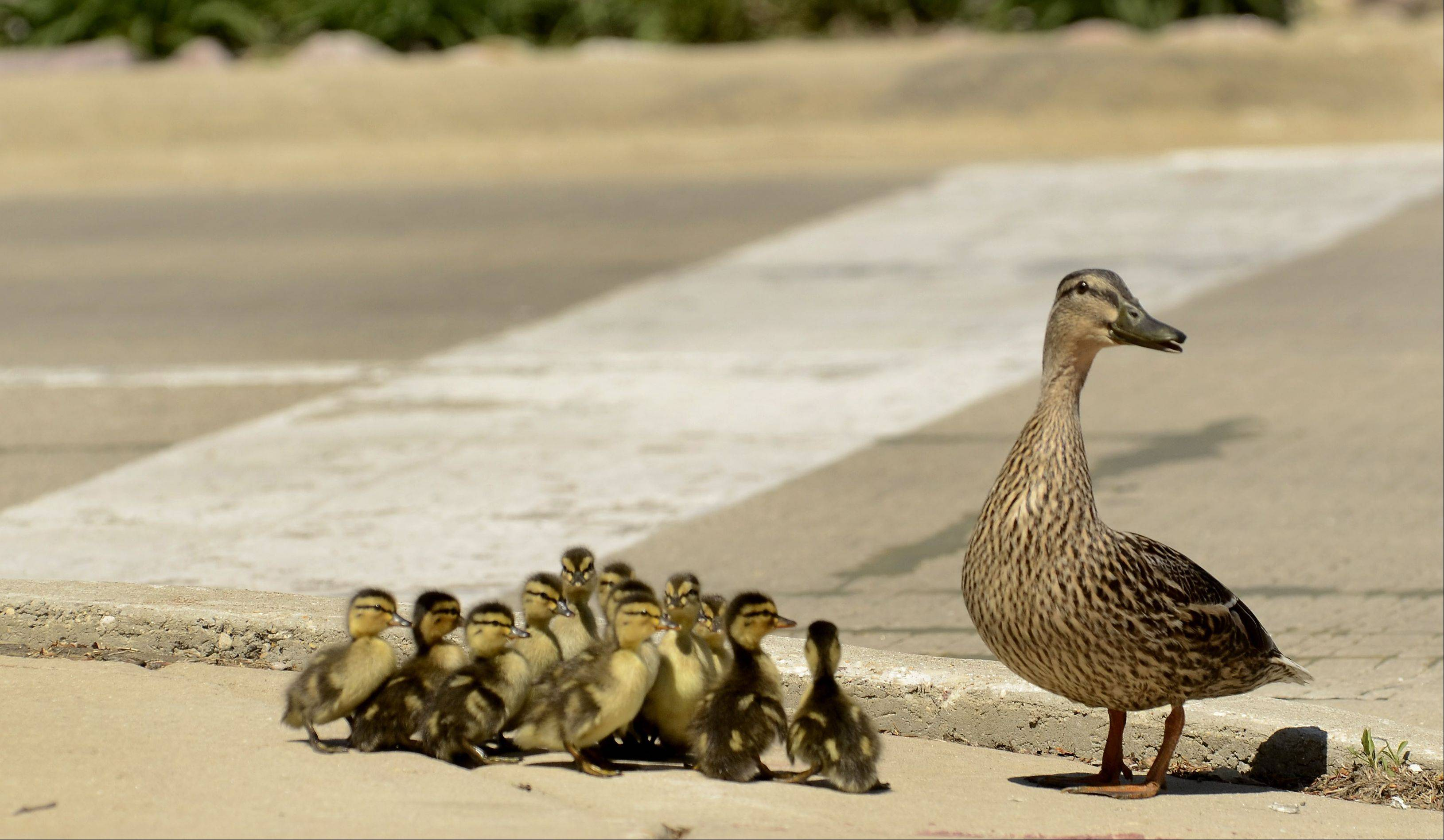 A family of ducks decide whether it's a good idea to cross Route 22 after leaving the parking lot of the Arboretum Club golf course in Buffalo Grove.