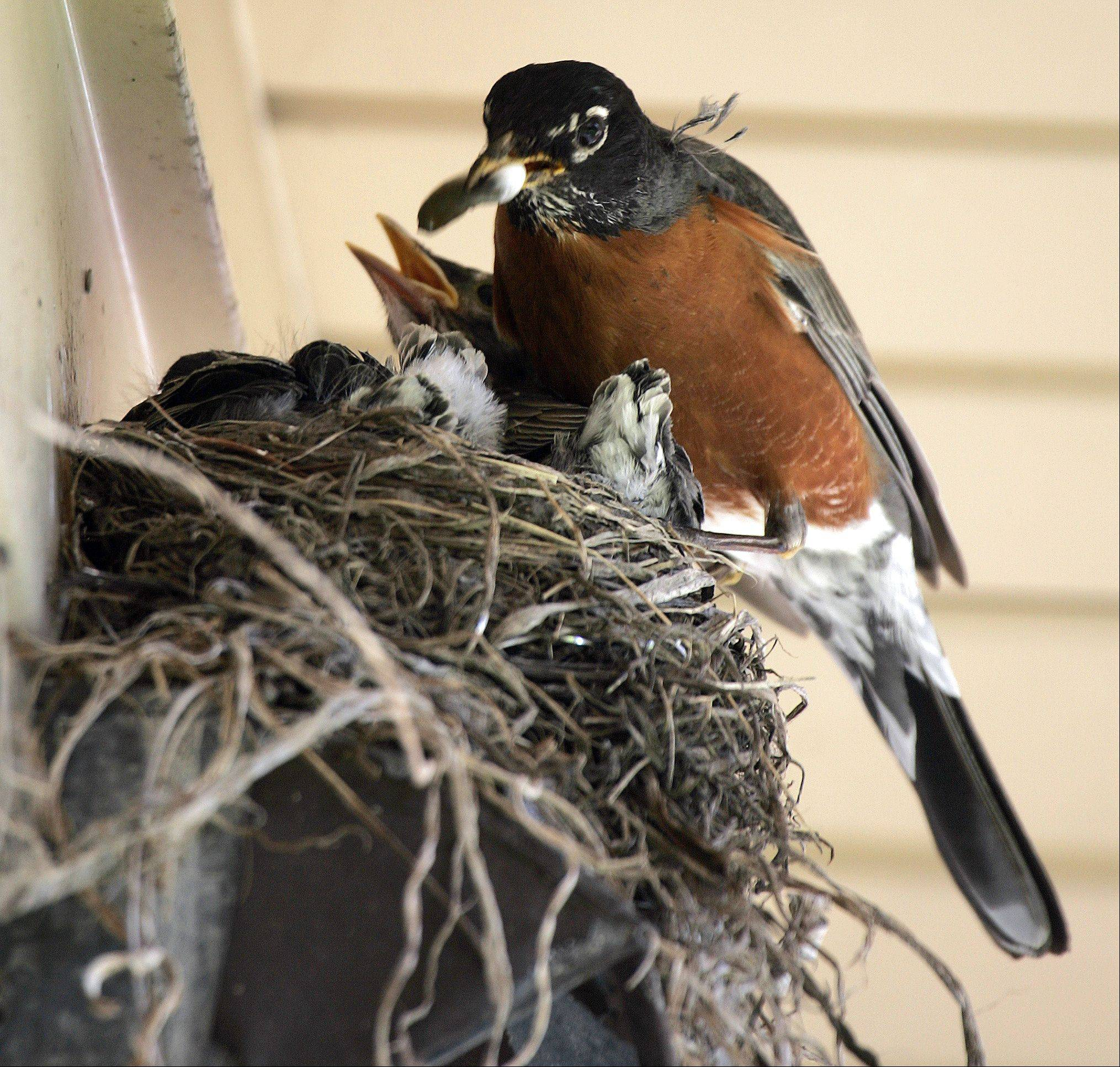 The work is never done. After multiple trips for food, a robin feeds one of their many chicks Wednesday under a roof overhang in Elgin. According to allaboutbirds.com an American Robin can produce three broods a year.