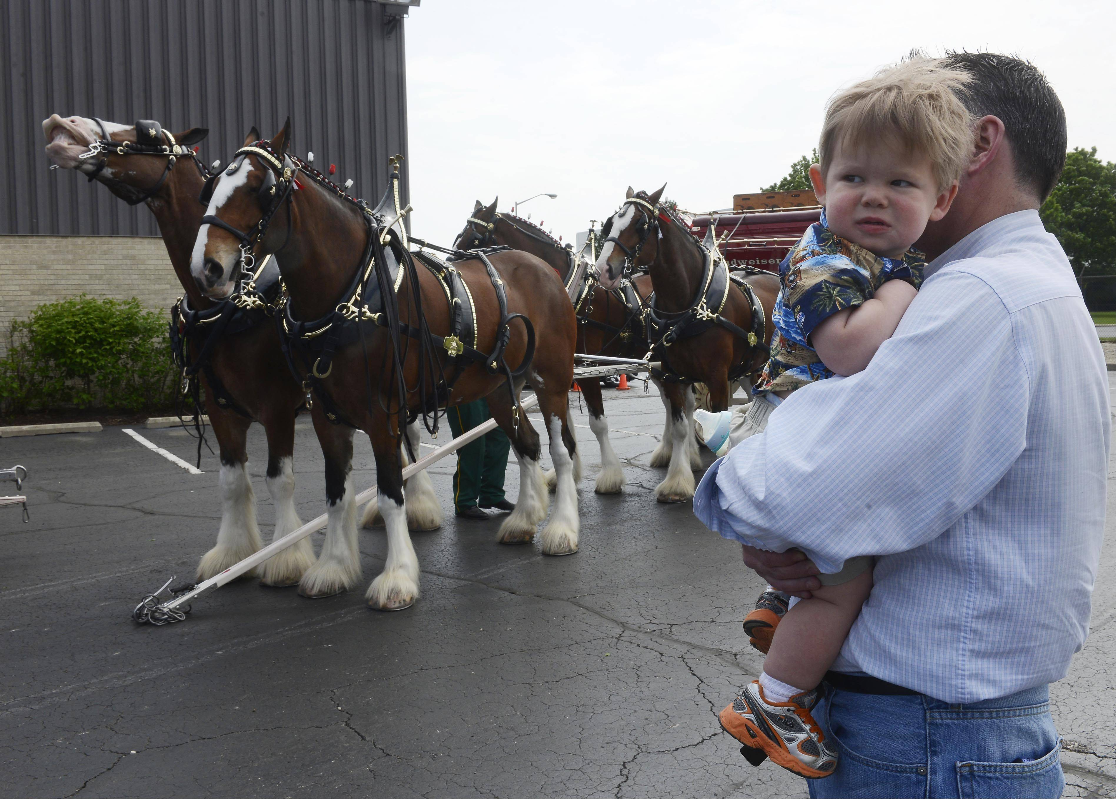 Jacob Johnson, age 18 months of Chicago, and his dad, Chris, an employee of City Beverage in Arlington Heights, view the Budweiser Clydesdales during a visit at a company gathering Friday. The public can view the Clydesdales at Lambs Farm near Libertyville at 1 p.m. Saturday.