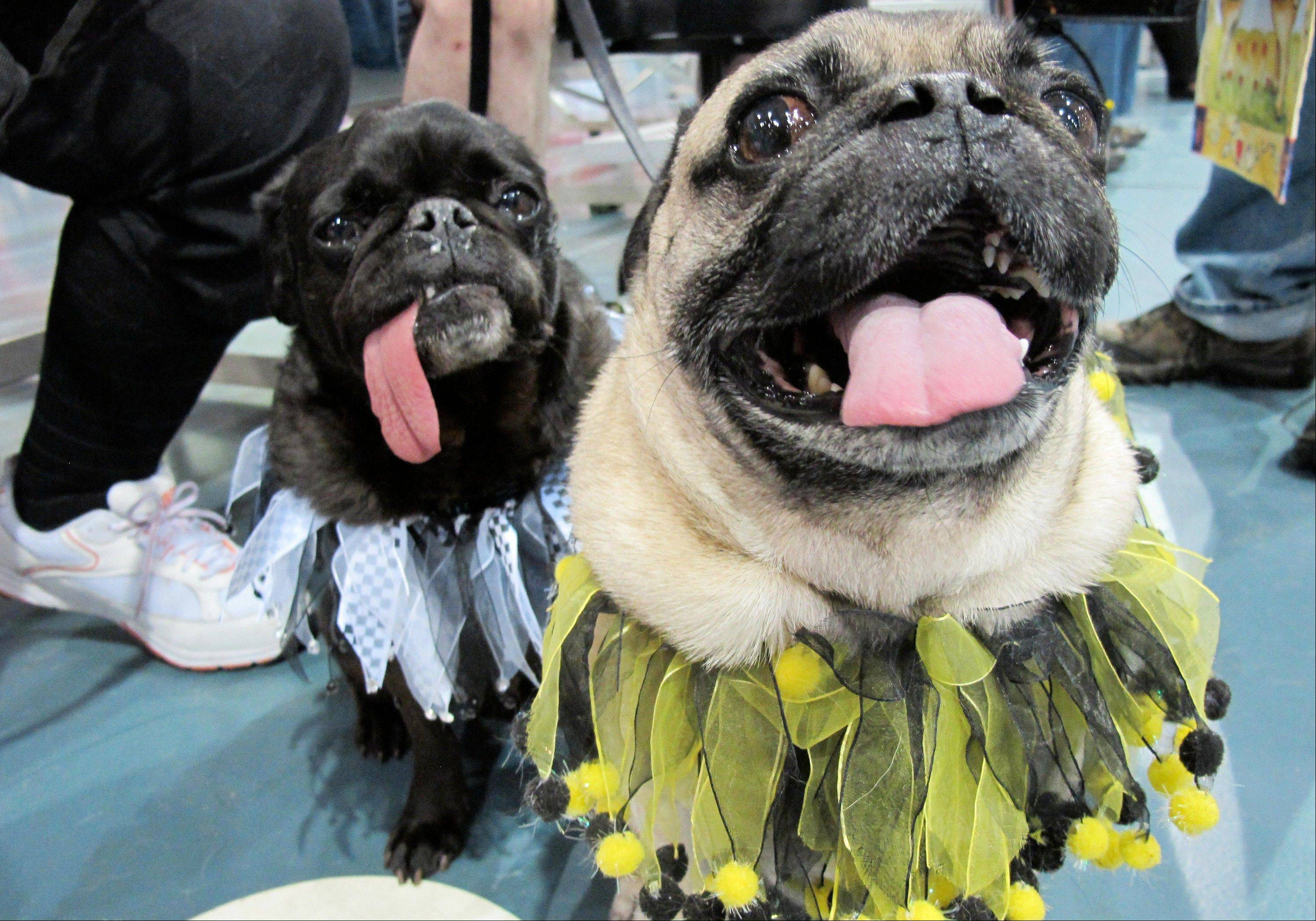 Chipper, right, and Chickory pose for a photo at the Milwaukee Pug Fest in Franklin, Wis.