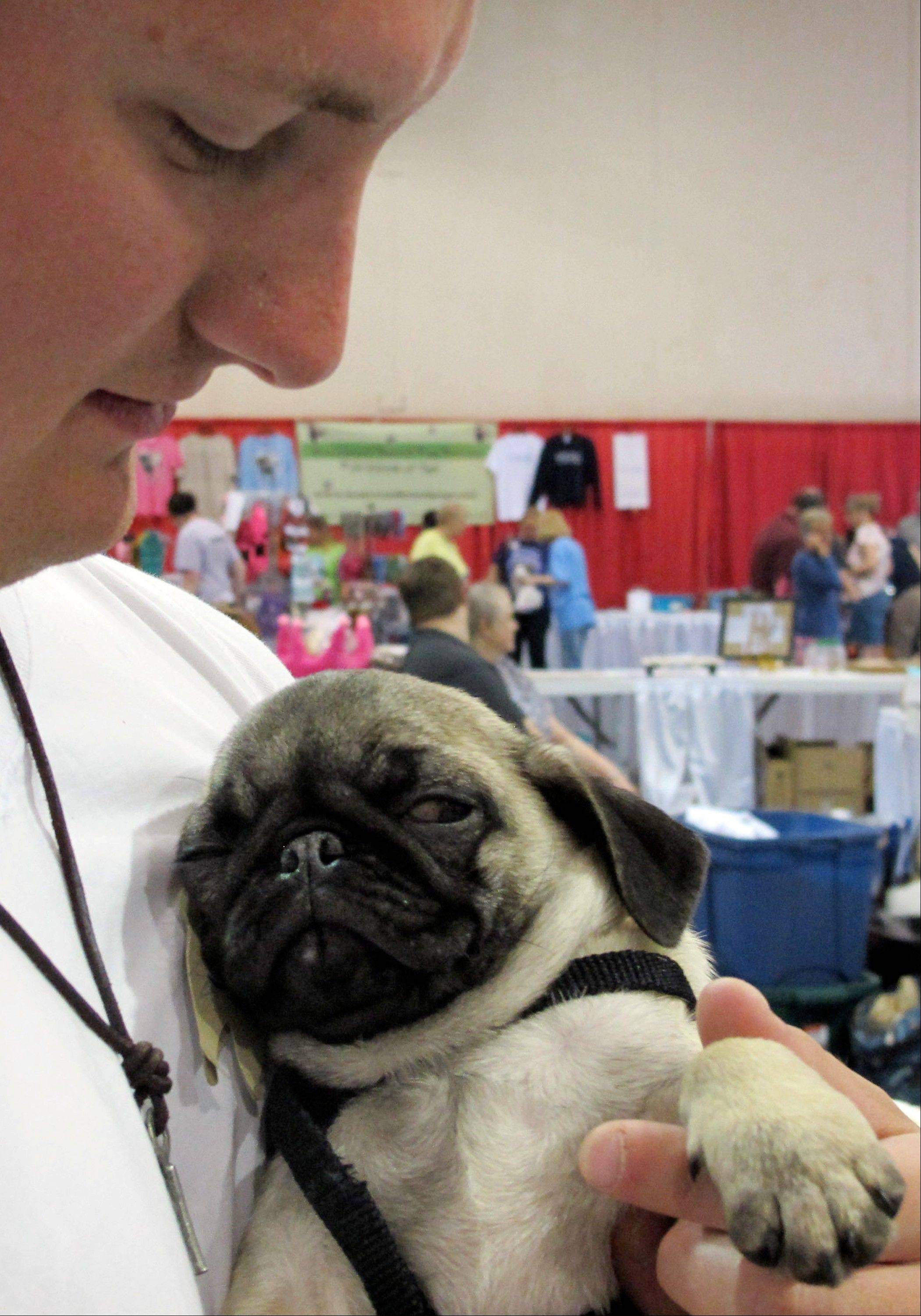 Jeremy Donnell, 23, holds a sleepy 12-week old pug puppy at Milwaukee Pug Fest in Franklin, Wis. The annual event, that helps pay for medical and dental bills for rescued pugs, attracted more than 1,700 pugs and other smushy-faced dogs along with 2,900 humans from the U.S. and Canada.
