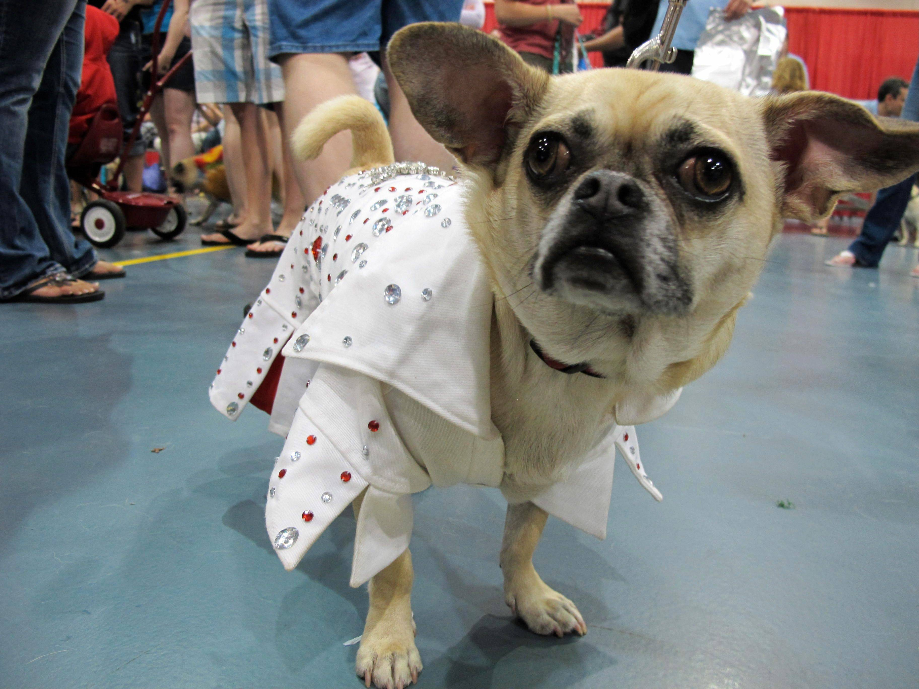 King, who is a Chihuahua-pug mix, poses in his Elvis costume at Milwaukee Pug Fest in Franklin, Wis.