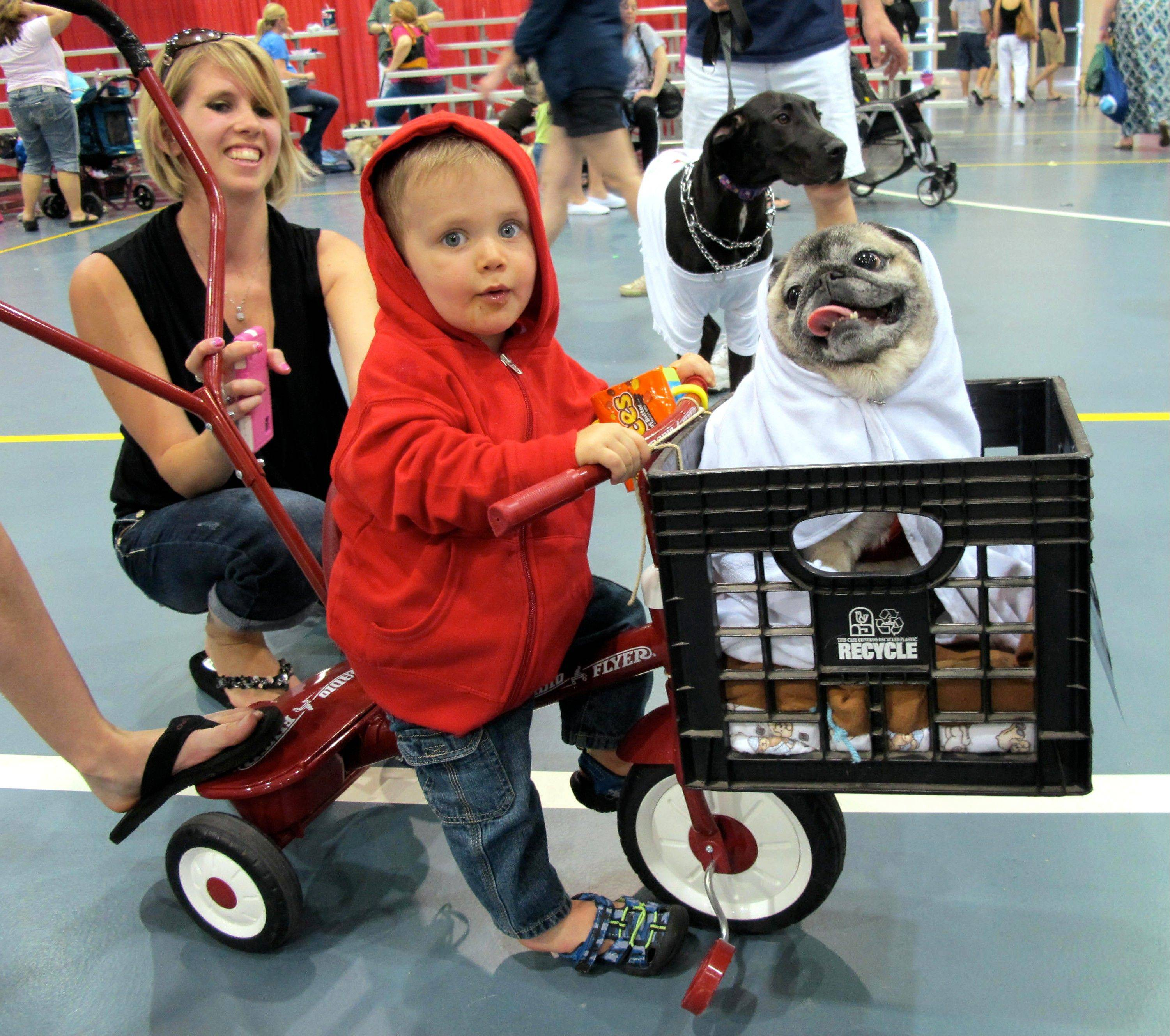 Lucas Purdy, 1, and Peke the pug won first place in one of the costume contests at Milwaukee Pug Fest in Franklin, Wis.