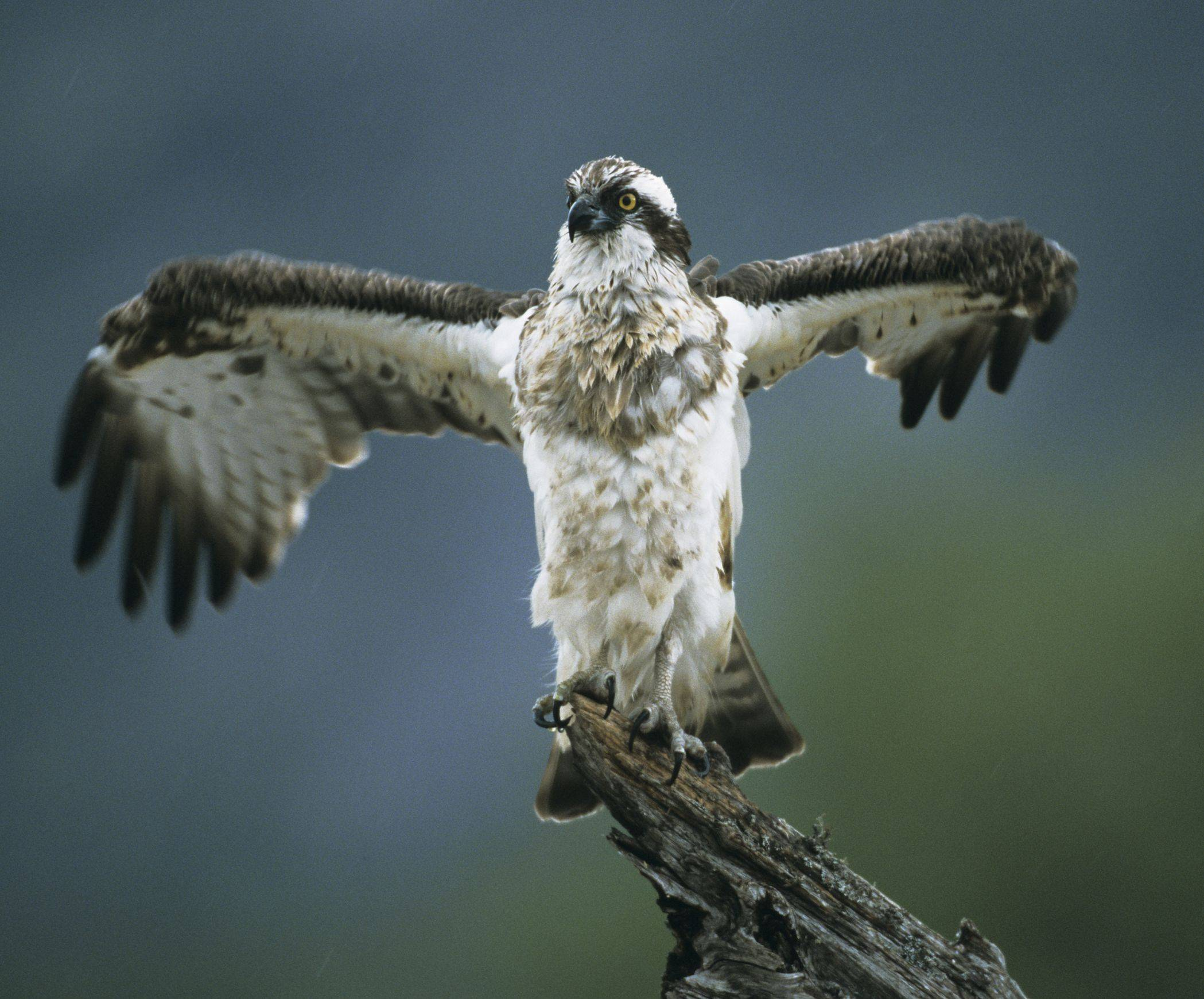 An Osprey (pandion haliaetus) is one of the 112 endangered or threatened species in Cook County. Lake and Cook counties have more endangered and threatened species than any other county in the state.