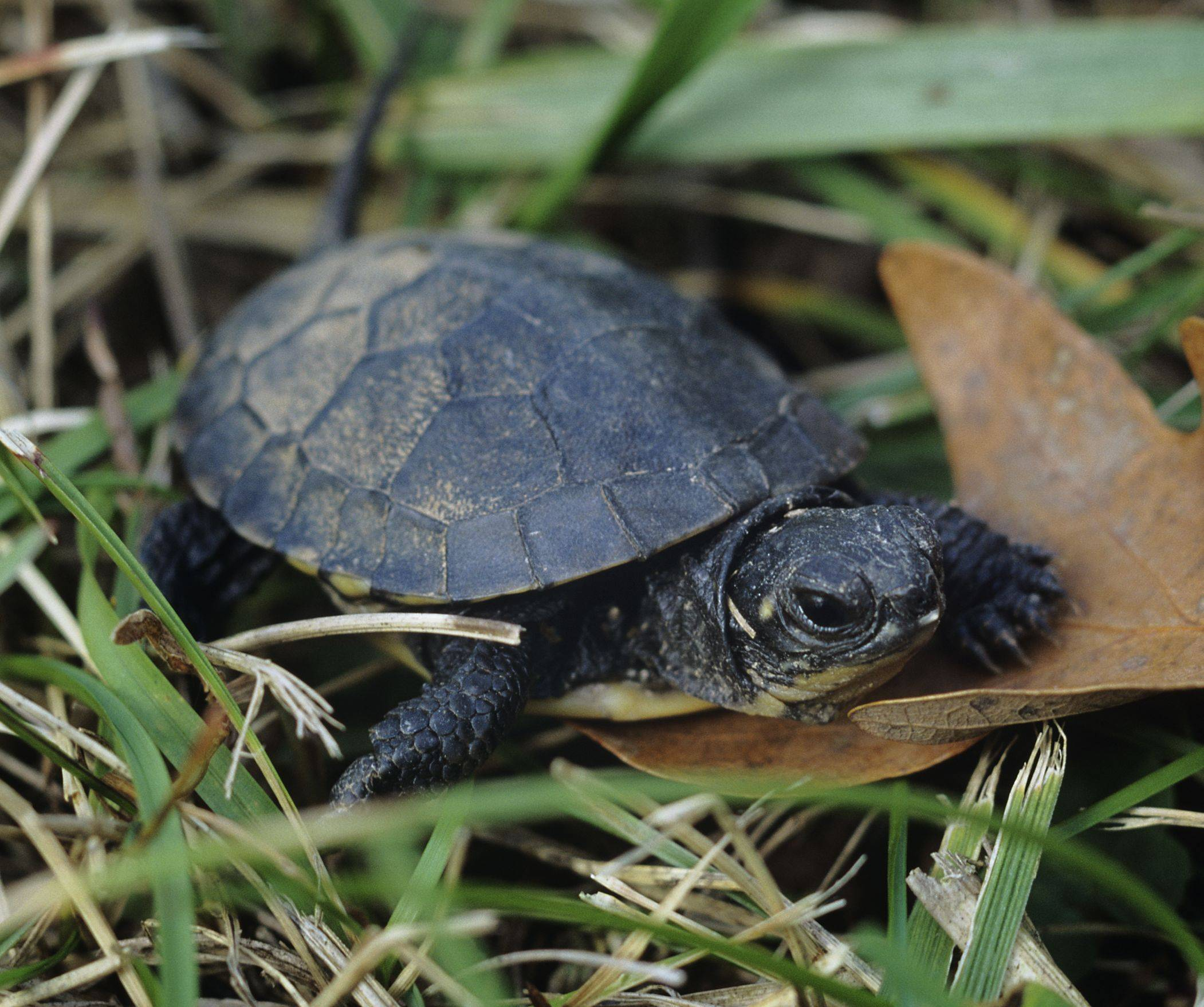 The Blanding's Turtle is an endangered species in Cook and Lake counties. Cook and Lake counties have more endangered and threatened species than any other county in the state.