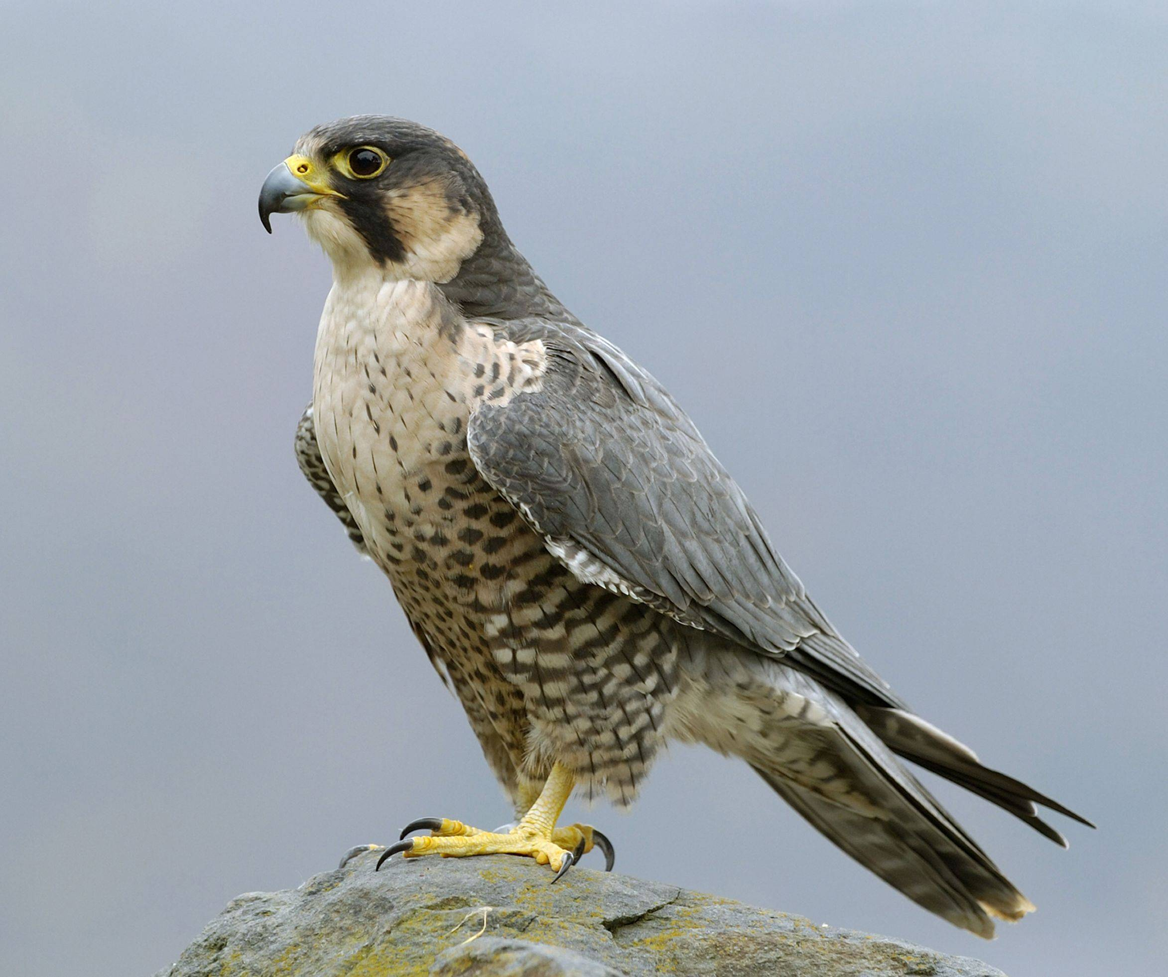 The Peregrine Falcon (Falco peregrinus) is one of the threatened species in Cook County.