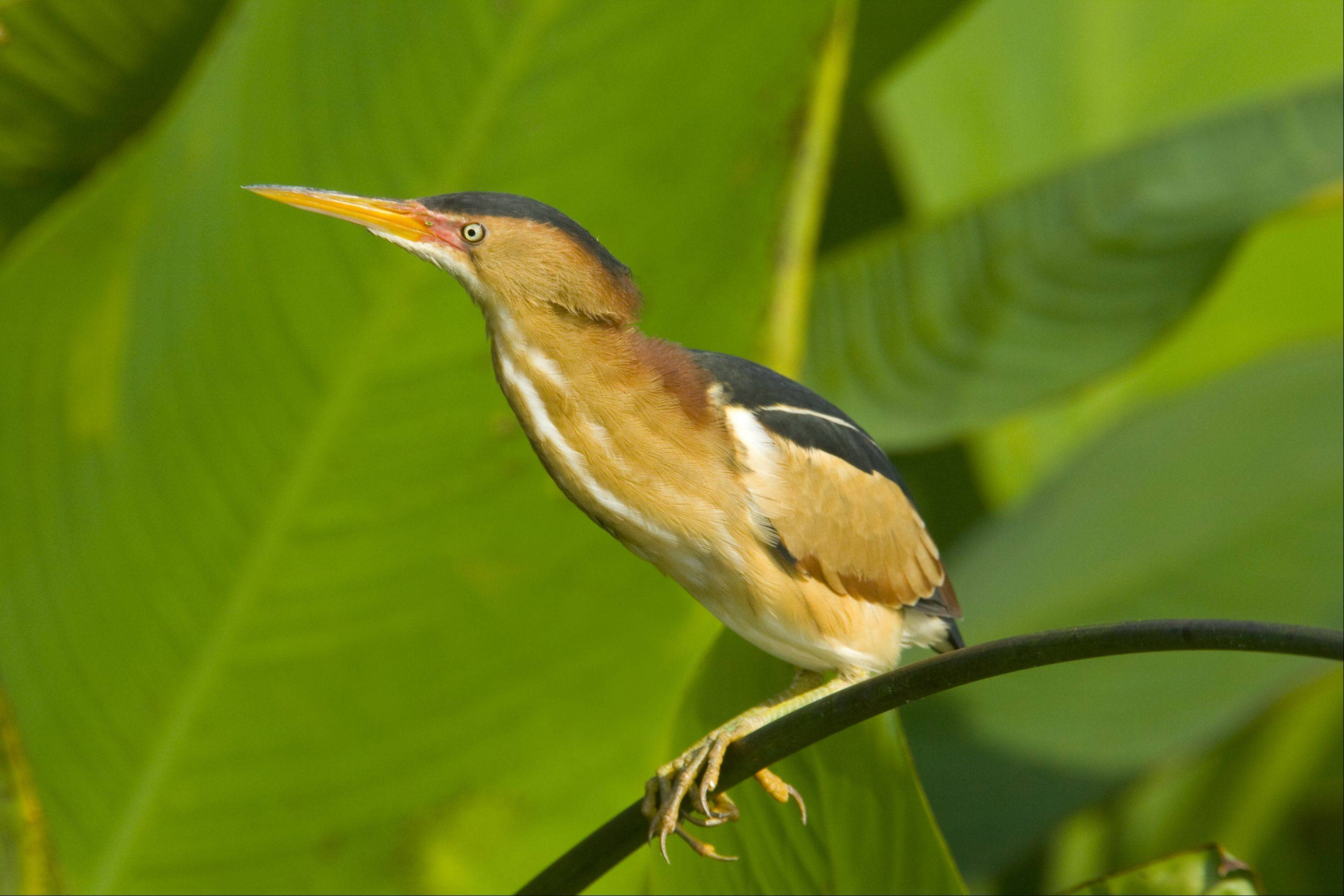 A male Least Bittern (Ixobrychus exilis) is perched on vegetation. The birds are among the threatened species in Cook and Lake counties.