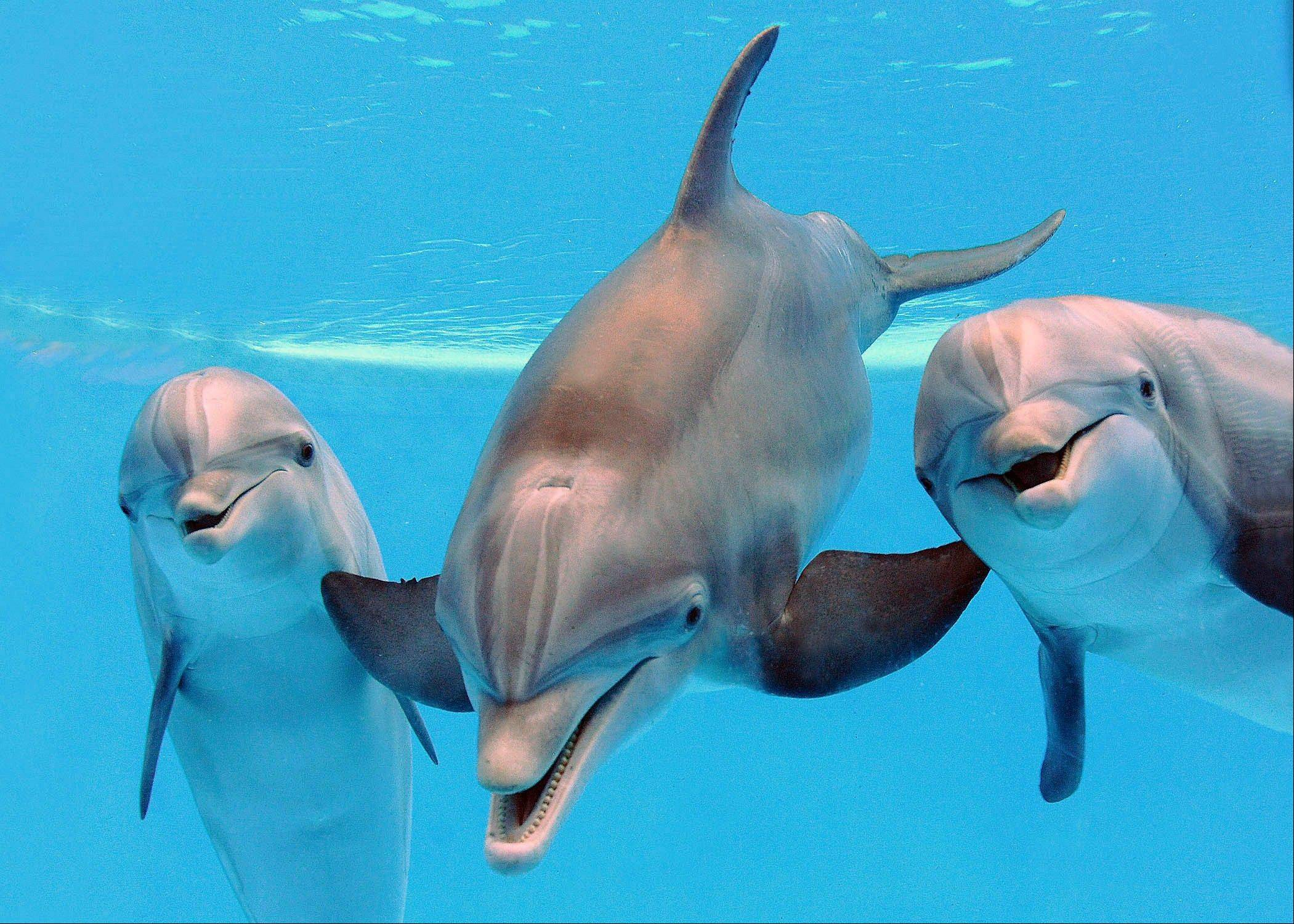 Three bottlenose dolphins from left, Spree, 10, Tapeko, 31 and Allie, 26, at the Brookfield Zoo. Officials at the zoo say all three dolphins are pregnant and due to give birth this summer and fall.