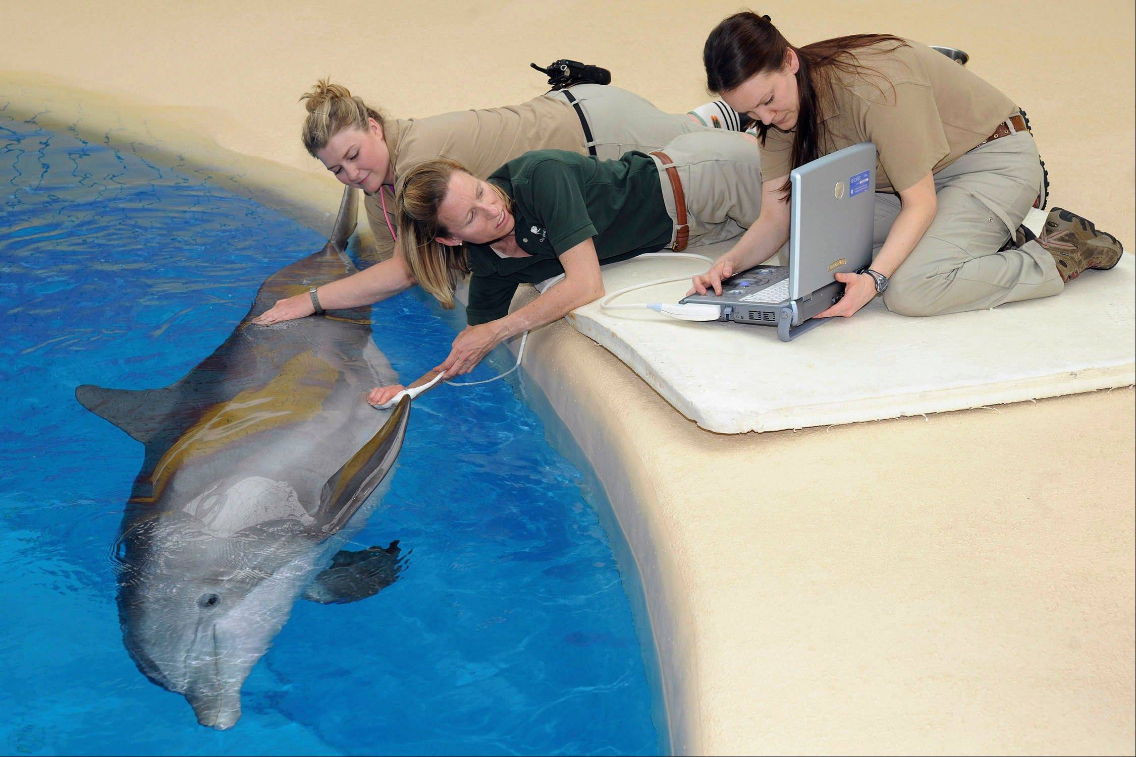 Jennifer Langan, center, associate veterinarian for the Chicago Zoological Society, performs an ultrasound on Allie, 26, one of three pregnant bottlenose dolphins at Brookfield Zoo in Brookfield. Langan is assisted by keeper Kristina Fliss, left, and Kate Sladek, a senior veterinary technician.