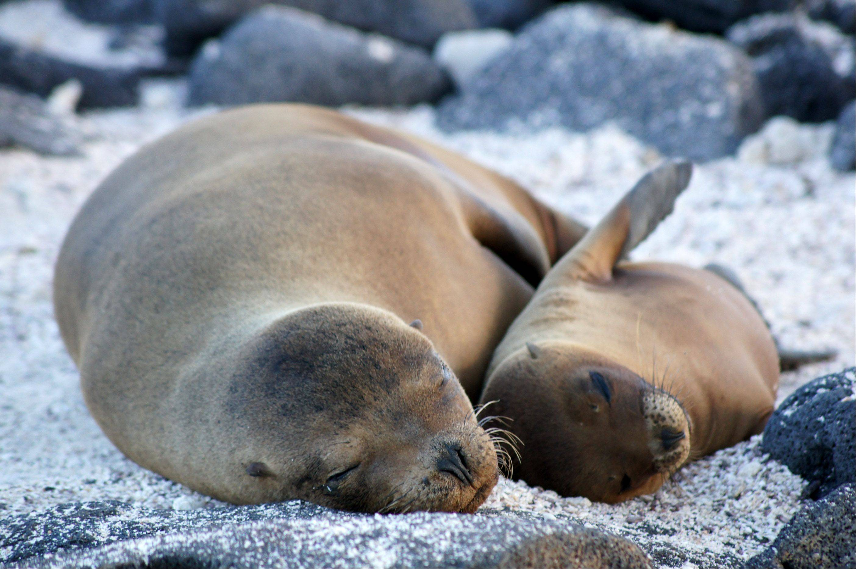 Deborah Solarski of Napervillephotographed these sea lions while on a 16-person Galápagos Islands cruise.