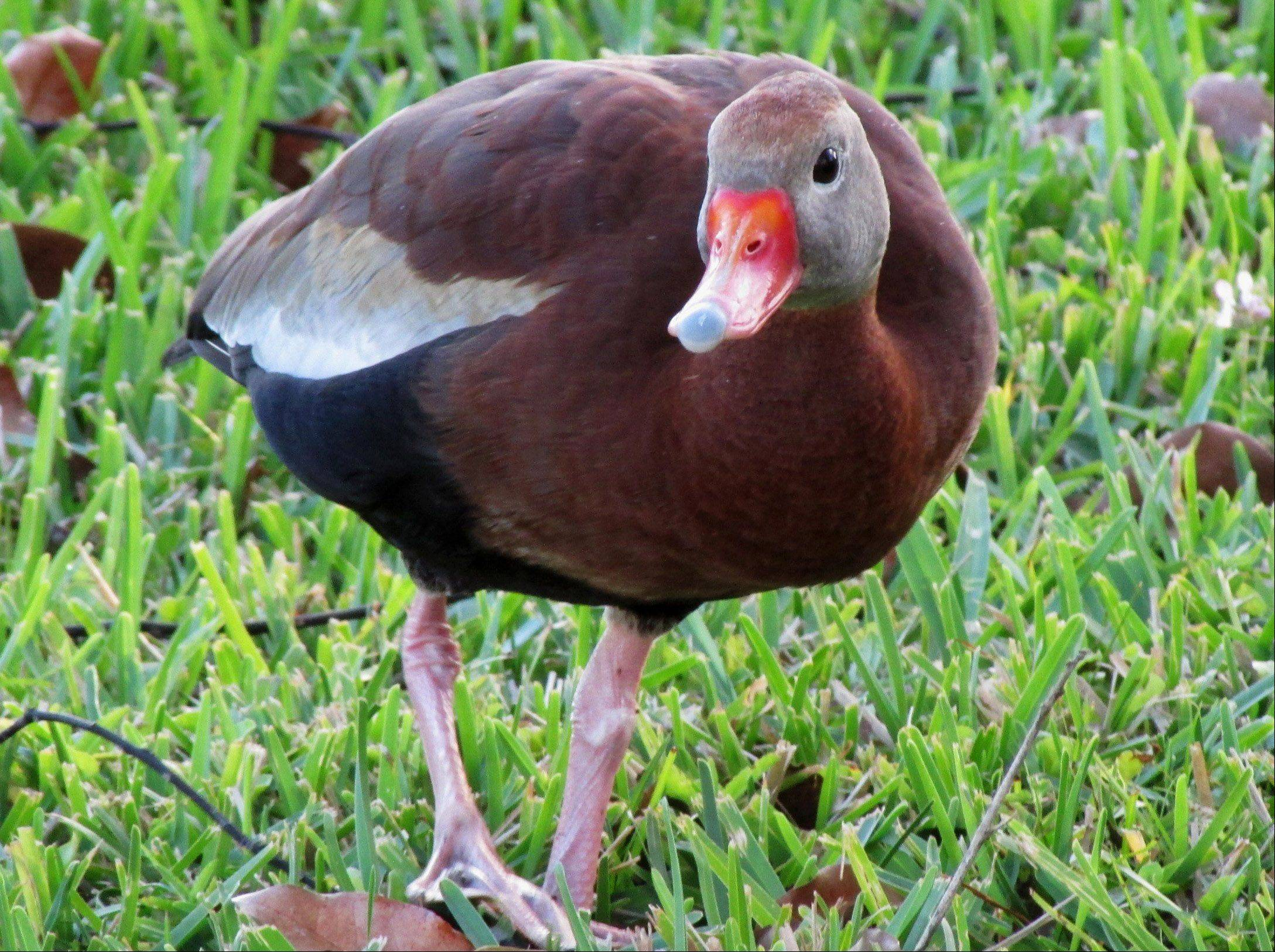 Cathy Godfrey of Wheatonphotographed this black-bellied whistling duck while on vacation in Brooksville, Fla.