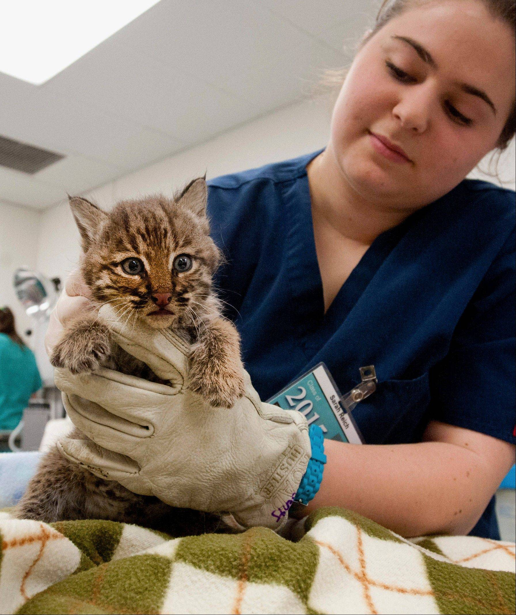 University of Illinois veterinary medicine student manager Sarah Reich holds a bobcat kitten at the University of Illinois Wildlife Medical Center in Urbana. The orphaned kitten is one of two being cared for after they were found on a train car near Tuscola