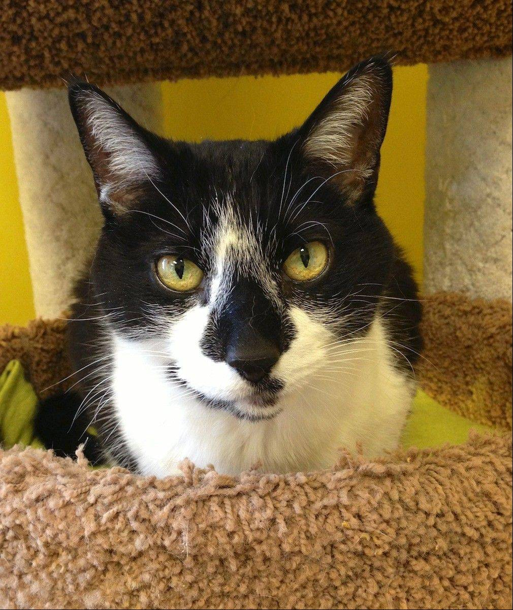 Bandit, a male, domestic shorthair, is about 10 years old.