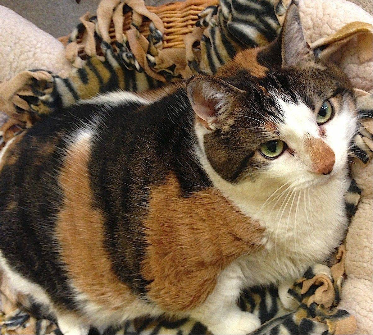 This pretty female, domestic shorthair is Cupcake, who is about 10 years old.