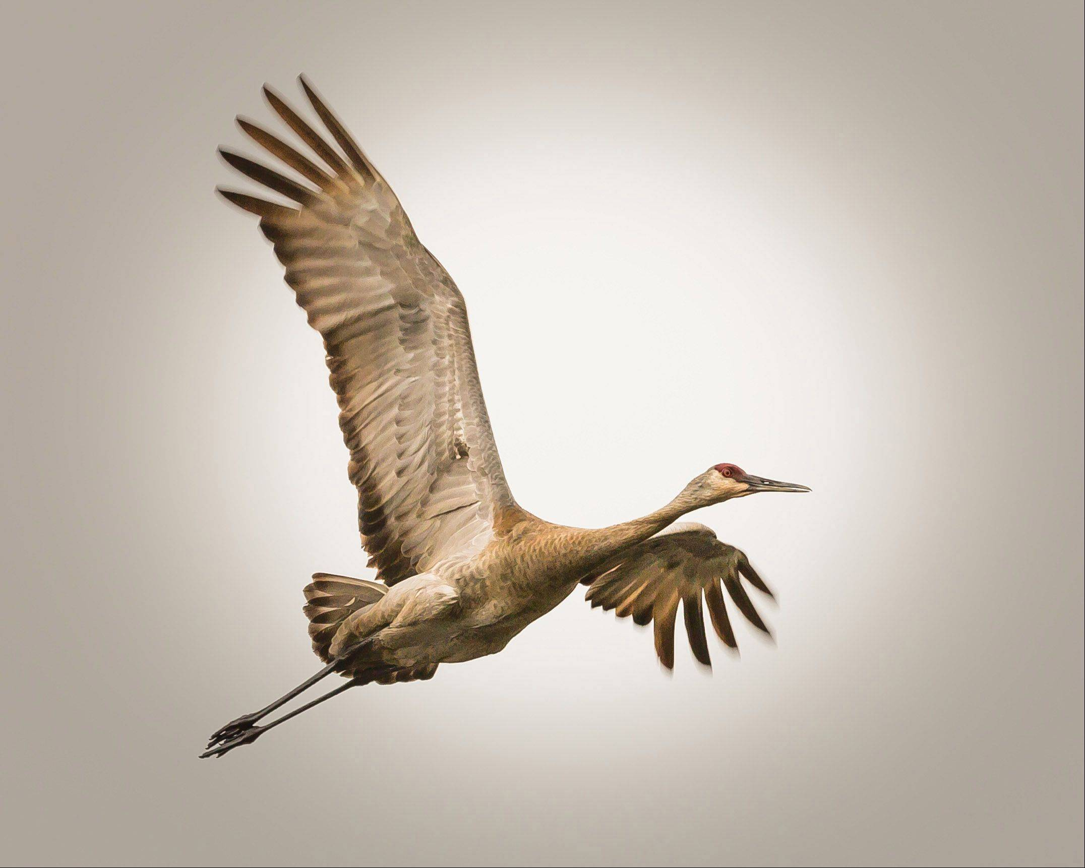 A sandhill crane at Volo Bog State Natural Area in Ingleside on May 10th.