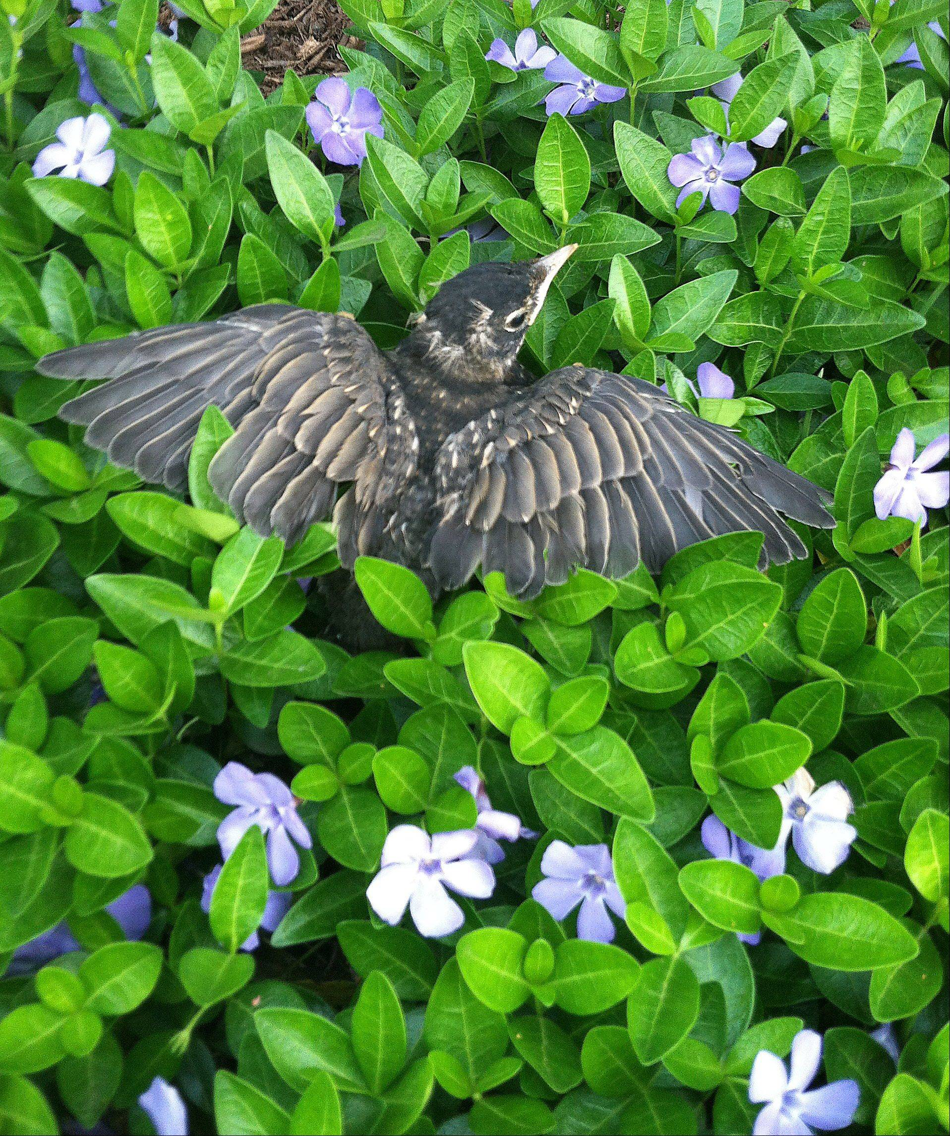 This photo was taken last week at our Geneva home. This baby bird was scampering around our front yard but could not yet fly. It ended up in our ground cover which made a great backdrop and reminded me of the renewal that Spring brings.