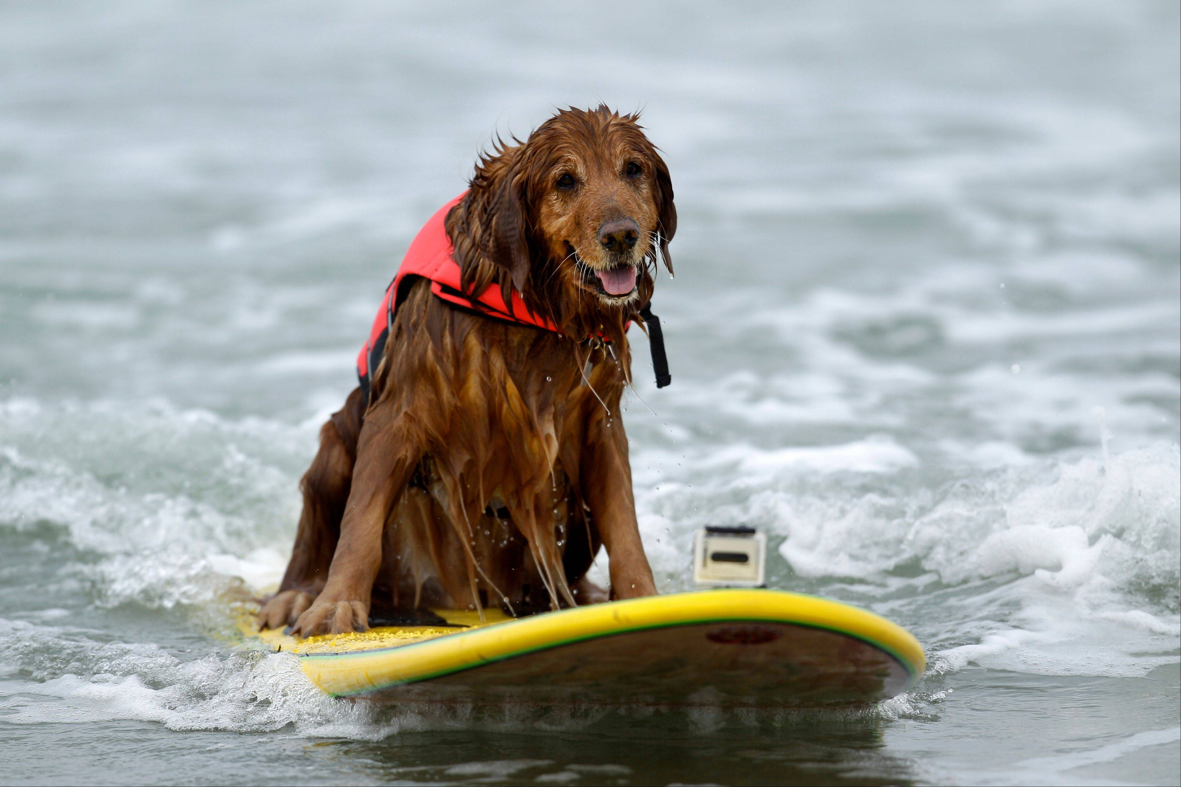 King, a nine-year-old golden retriever rides a wave while surfing in the Incredible Dog Challenge dog surfing competition in San Diego. There are about 95,000 miles of shoreline around the United States and among the most treasured by dog lovers are those where you can unleash the beast.