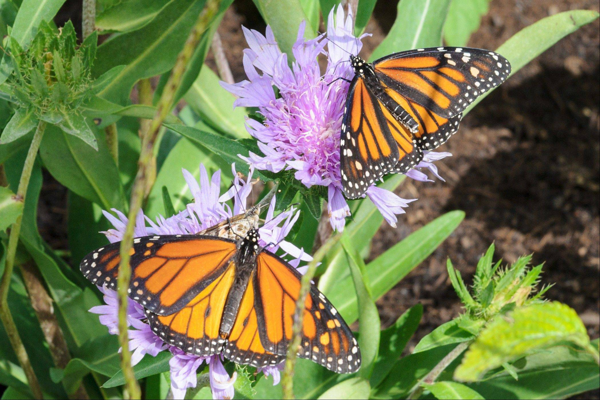 The special Butterflies & Blooms area of the Chicago Botanic Garden returns to Glencoe starting Saturday, May 25.