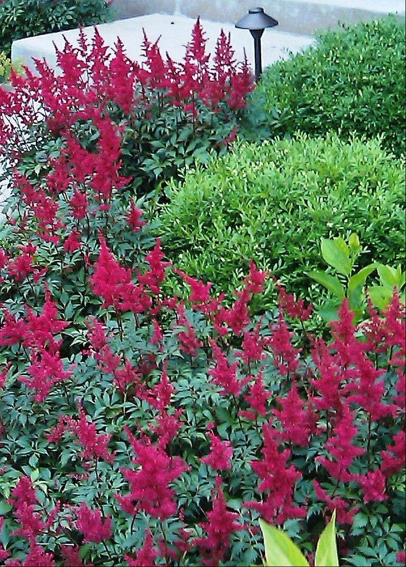 Fanal Astilbe would do well in a new planting bed that incorporates the existing flowering tree.