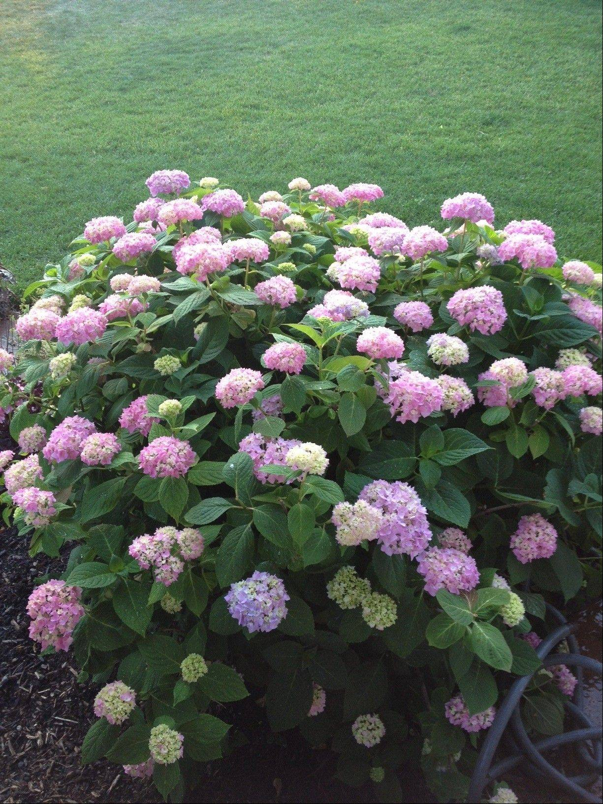 Endless Summer hydrangeas bloom from late spring to fall.