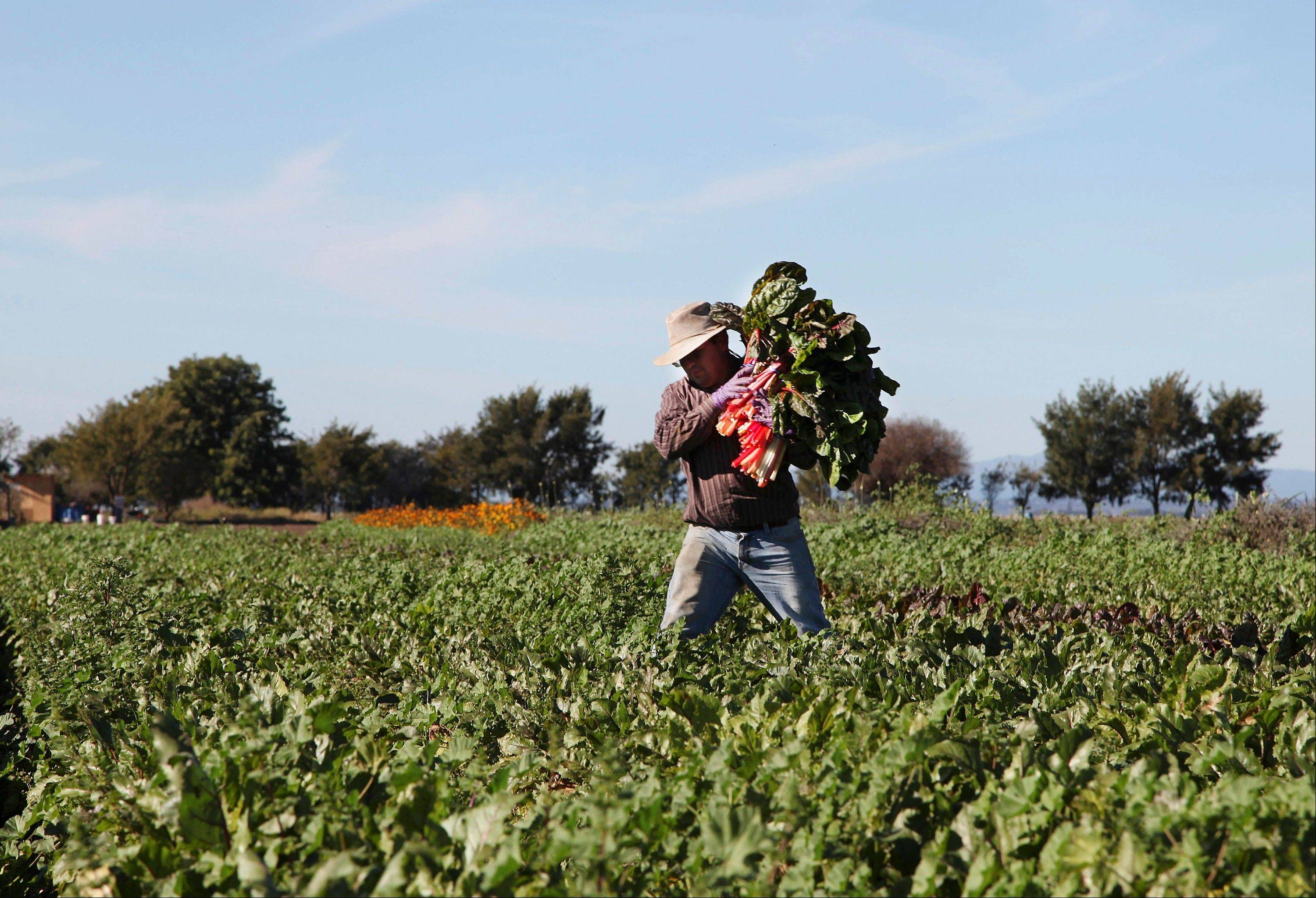 In this Nov. 10, 2012 file photo, Omar Chombo carries a bunch of chard across the field which he leases from the Agriculture and Land-Based Training Association, known as ALBA, in Salinas, Calif. The organization helps farmworkers, most of whom are first generation Latinos, to become independent organic farm operators. With Congress considering a new immigration reform proposal that includes a speedier process to legal status for farmworkers, experts say, the best indicator of how such reform would play out is to look at the fate of the generation of farmworkers who were legalized over two decades ago.