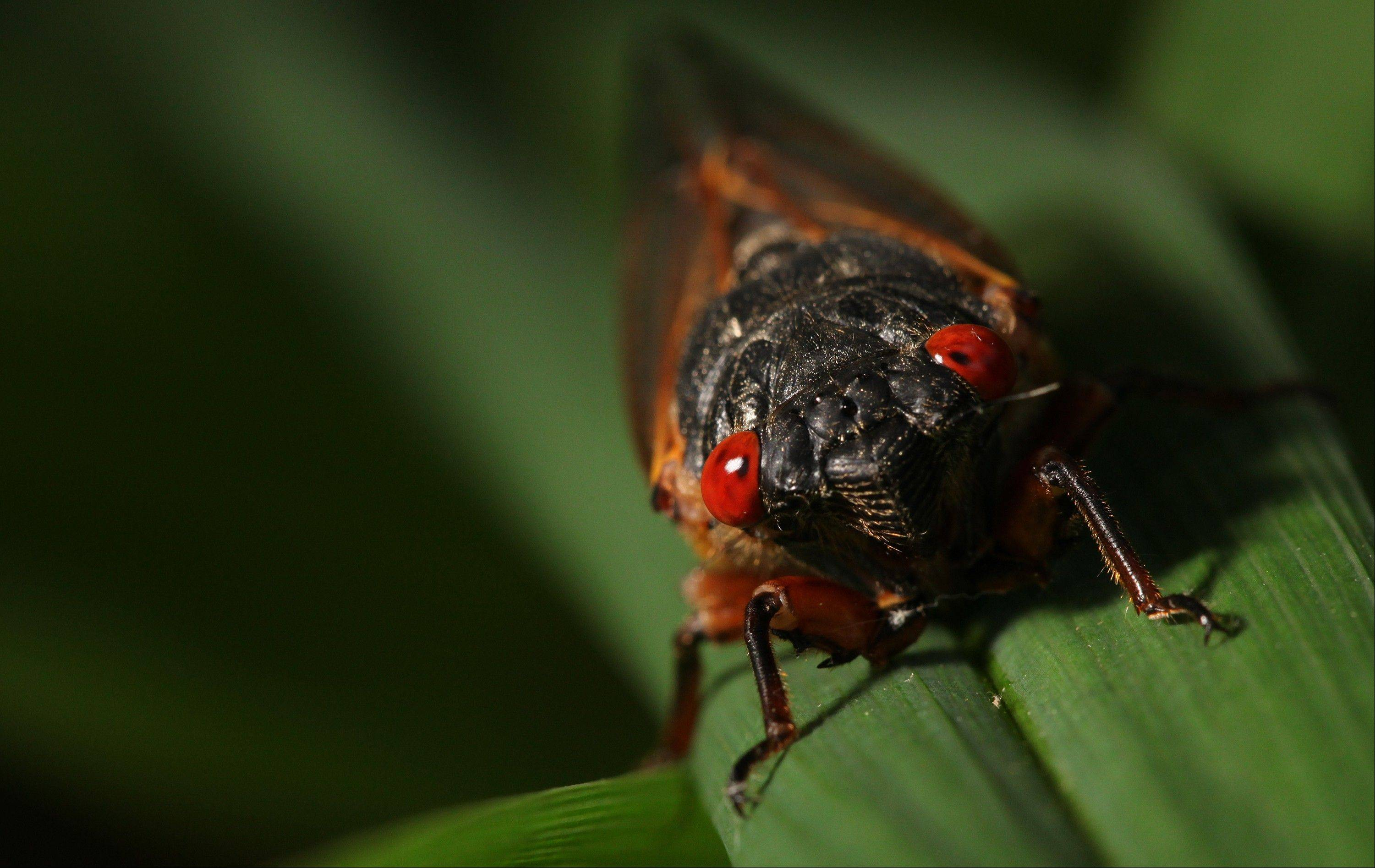 Millions of Americans struggle with phobias, including a fear of cicadas.
