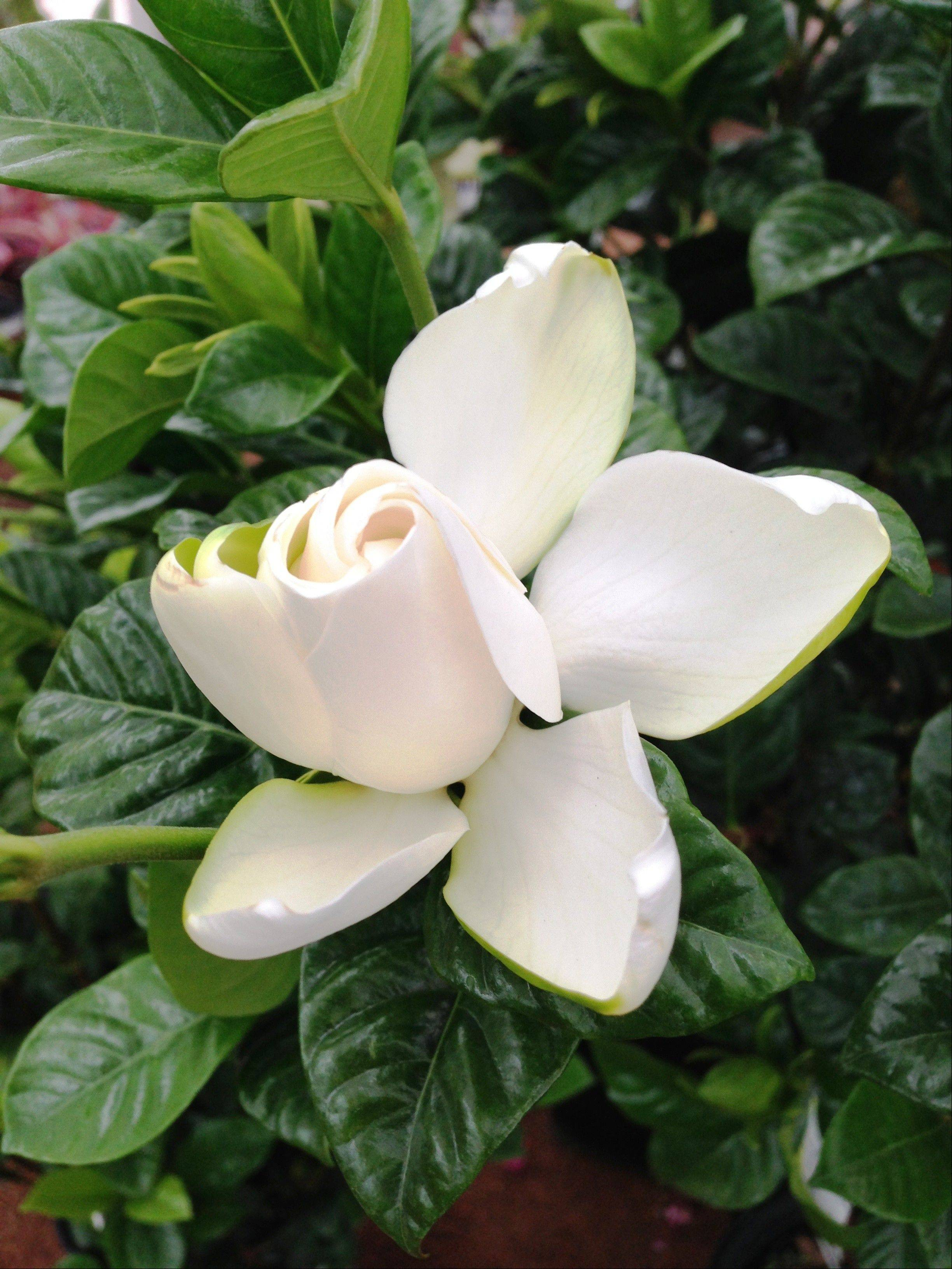 Gardenia flowers will fill a patio with lovely fragrance.