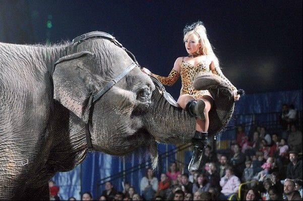 Elephants are among the animals that are part of Piccadilly Circus. Controversy has dogged the circus, which has shows at the Lake County Fairgrounds in Grayslake on Wednesday and Thursday.
