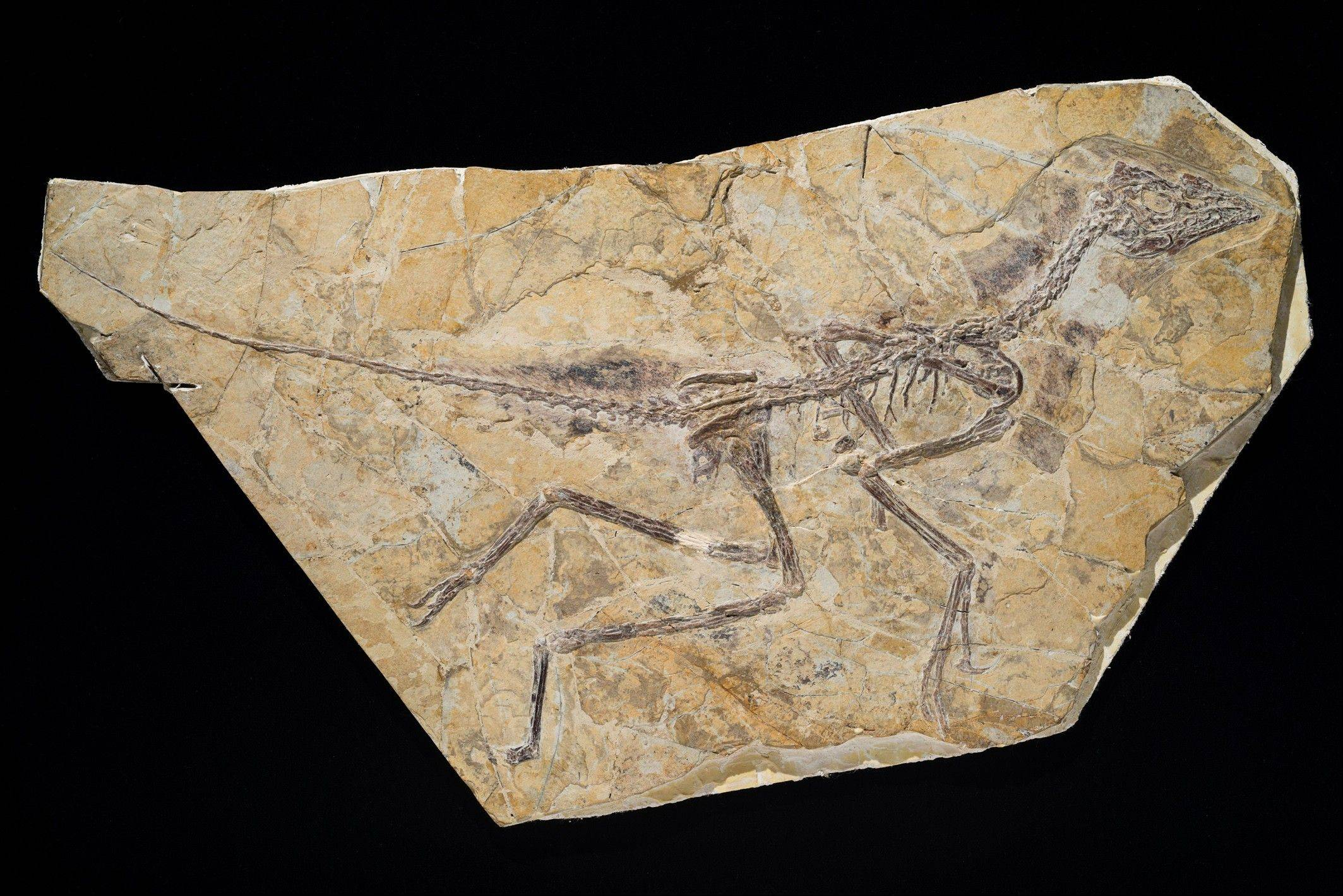 This is the skeleton of a recently discovered dinosaur dubbed Aurornis xui that roamed China during the middle to late Jurassic period. A new study published in the journal Nature finds the discovery restores the fossil creature Archaeopteryx back to the �bird� branch of the evolutionary family tree.