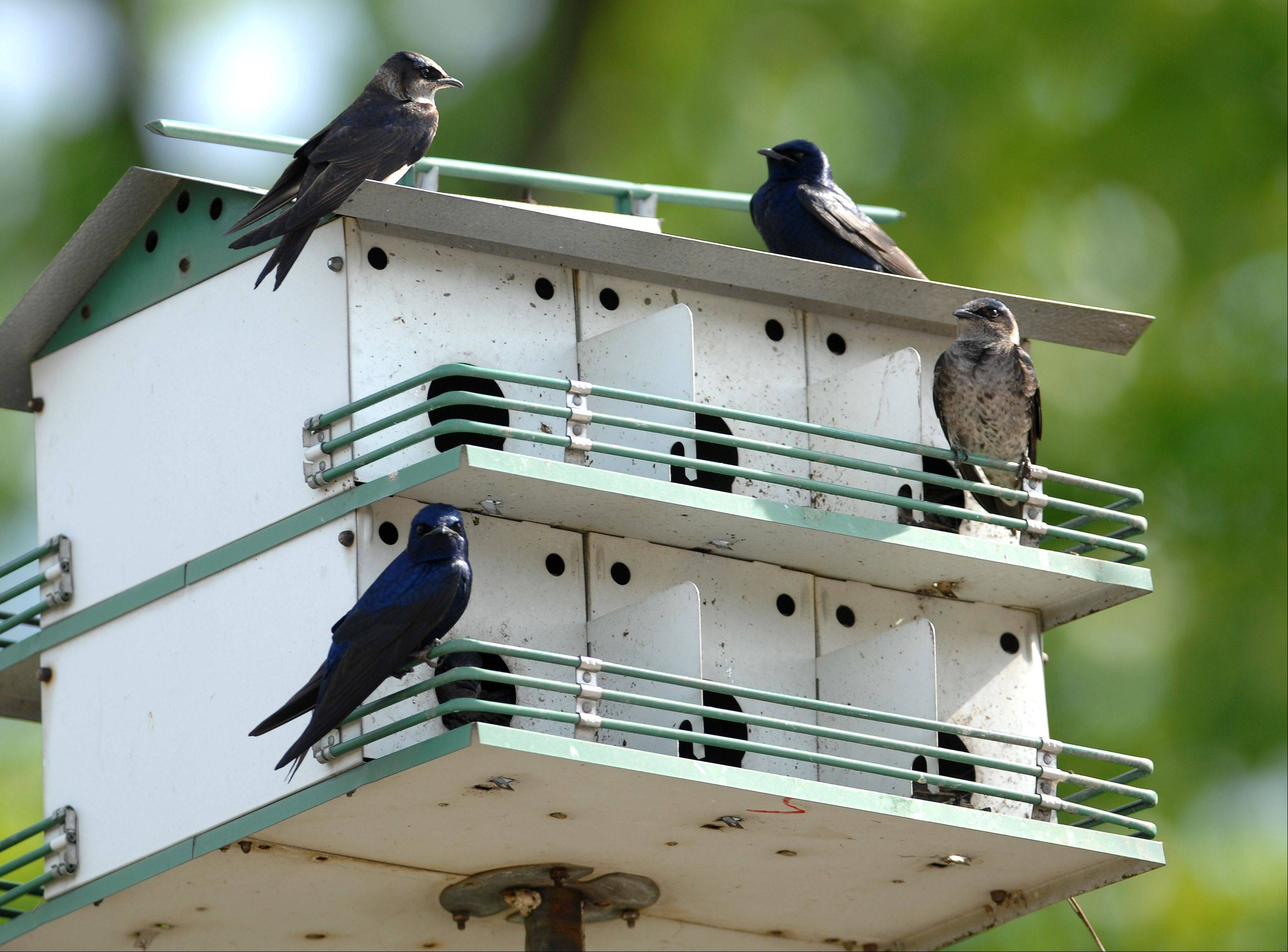 Purple martins relax in a house along the Riverwalk in Batavia. Fred Borchert of Batavia helps maintain the houses in the area.