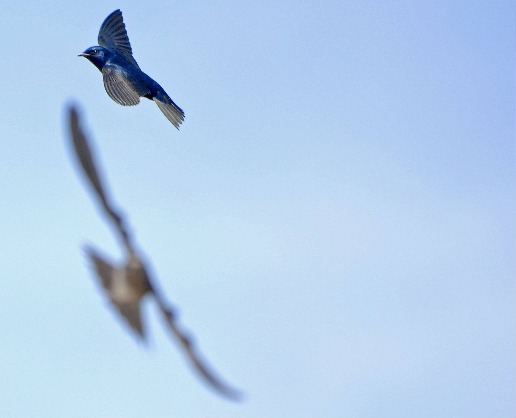 Fred Borchert of Batavia has helped foster a large colony of purple martins along the Riverwalk in Batavia.