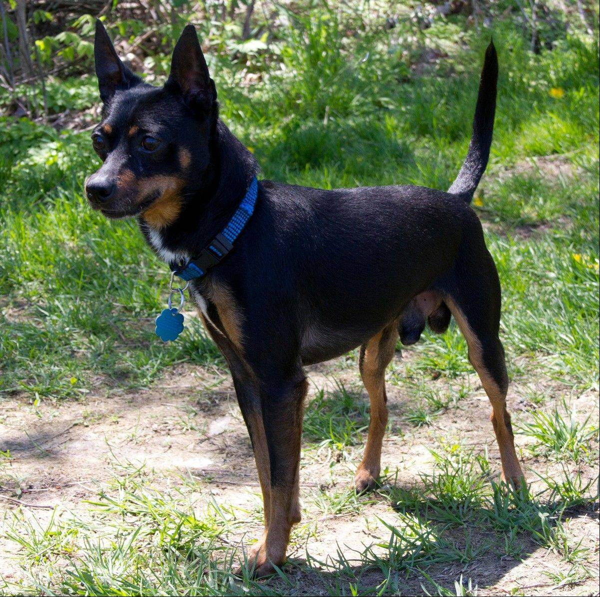 Newton, a miniature Pinscher, is about 4 years old. This 10-pound, male is looking for a place to call home.