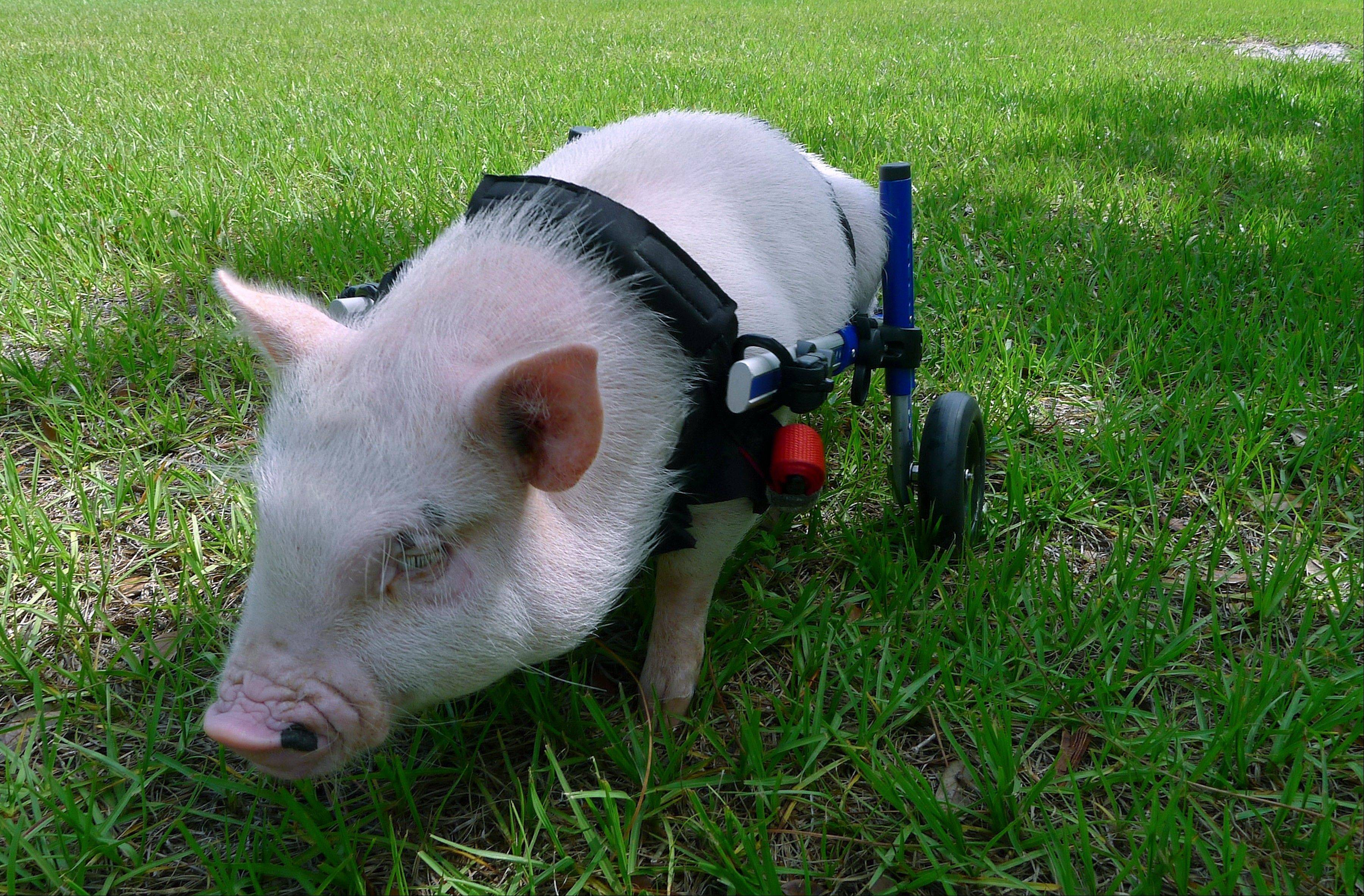 "Associated Press Potbellied pig ""Chris P. Bacon,"" owned by veterinarian Dr. Len Lucero, moves around Thursday on a special harness, in Sumterville, Fla."