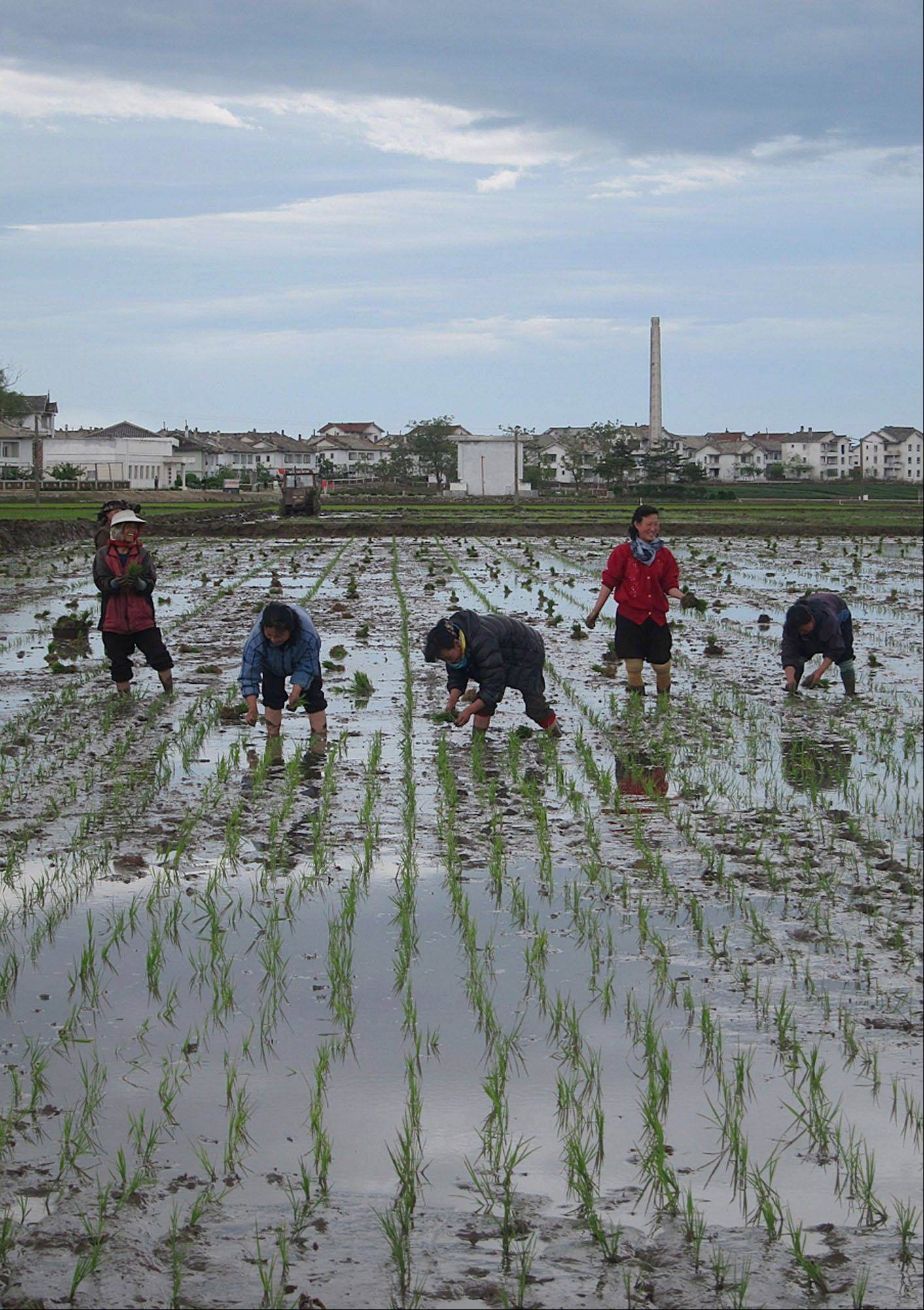 North Korean farm workers transplant rice seedlings Wednesday at Tongbong Cooperative Farm, near Hamhung, North Korea. Farmers in North Korea have confirmed that they have begun carrying out new economic policies designed to boost productivity by giving managers and workers financial incentives.