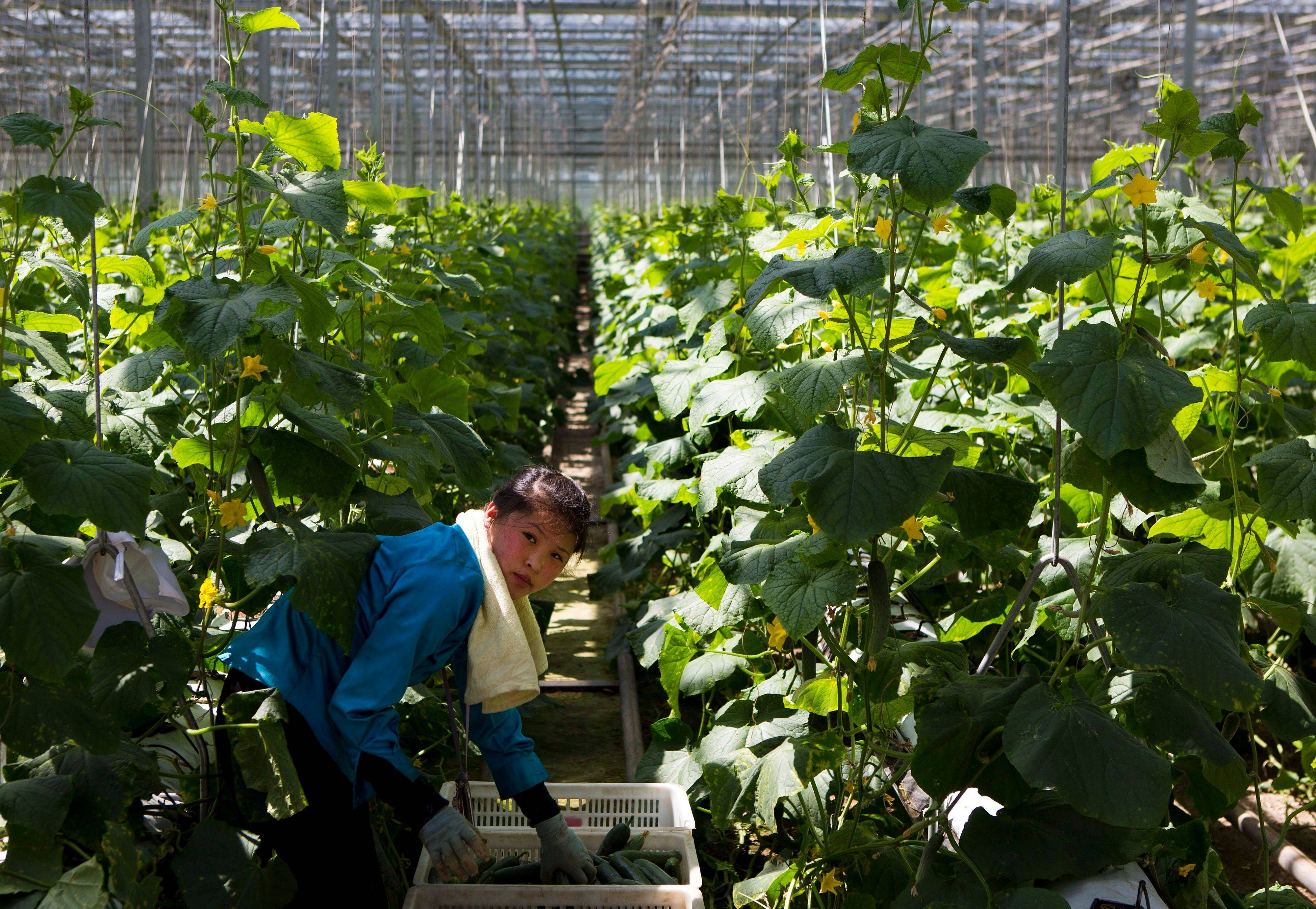 A North Korean woman works in a vegetable greenhouse on the outskirts of Pyongyang.