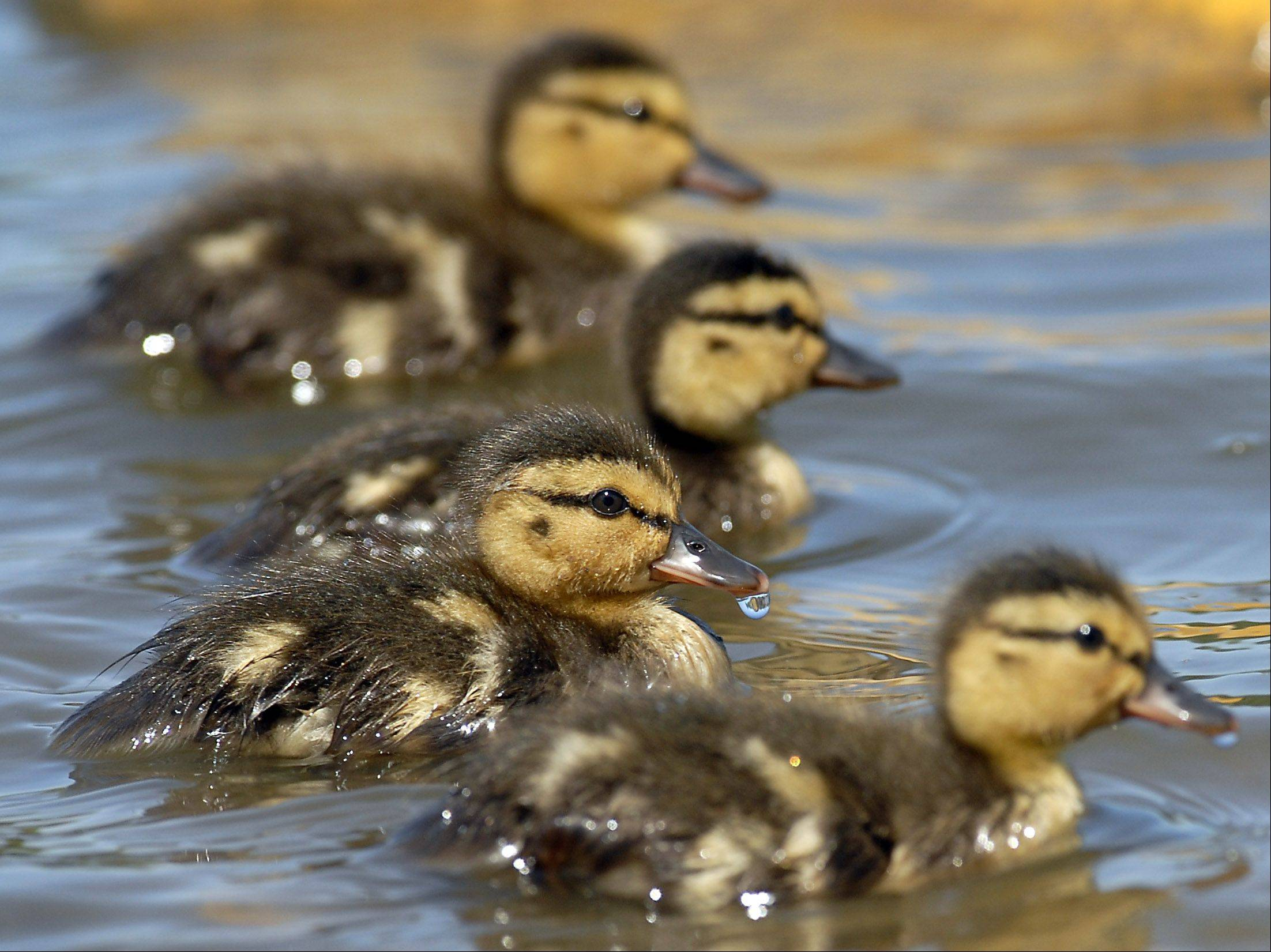 Ducklings are cute, but don't play amateur wildlife rescuer and remove them from where you find them, cautions Valerie Blaine.