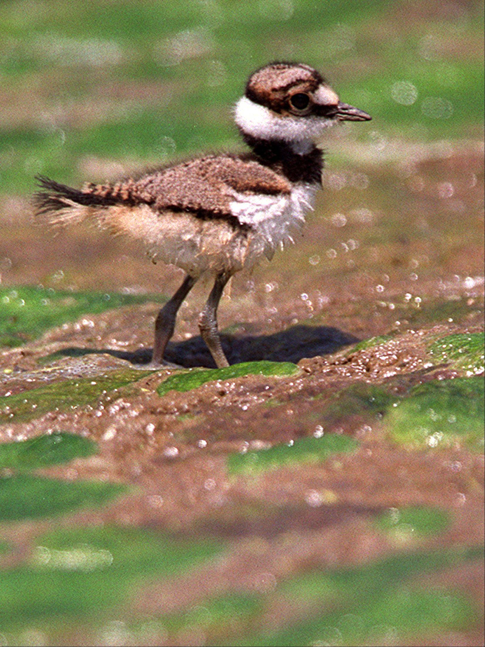 A killdeer baby looks for its parents, while running around on a sludge/moss covered pond in Geneva. Killdeer mothers often fake injury to distract anything they perceive as a threat to their young.