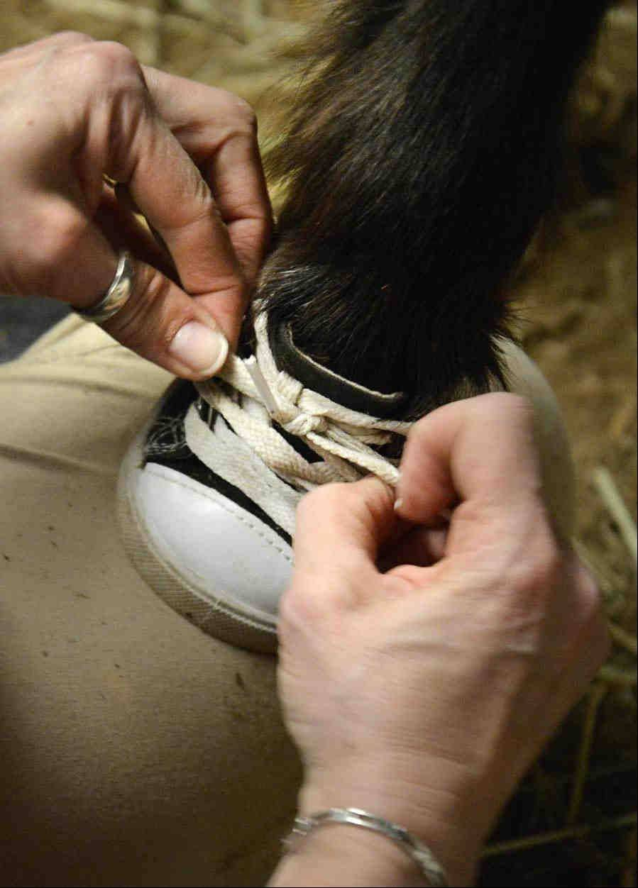 Jodie Diegel ties a small round sneaker, meant for a toy stuffed bear, onto the front hoof of Turnabout. The shoes provide traction on tile and linoleum floors at facilities the horses visit.