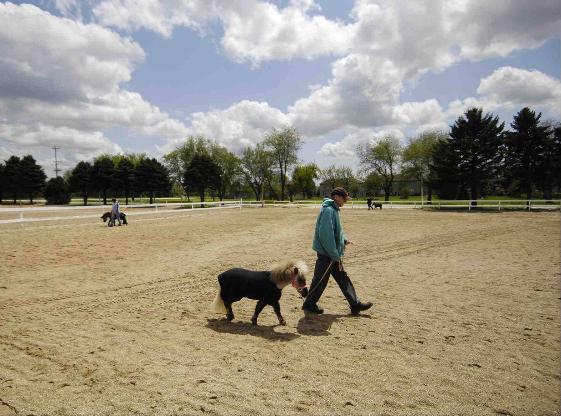 Tim Scotellaro of Crystal Lake is one of 43 volunteers working with the miniature horses of Mane In Heaven pet therapy organization at Dynasty Farm in Lake in the Hills.