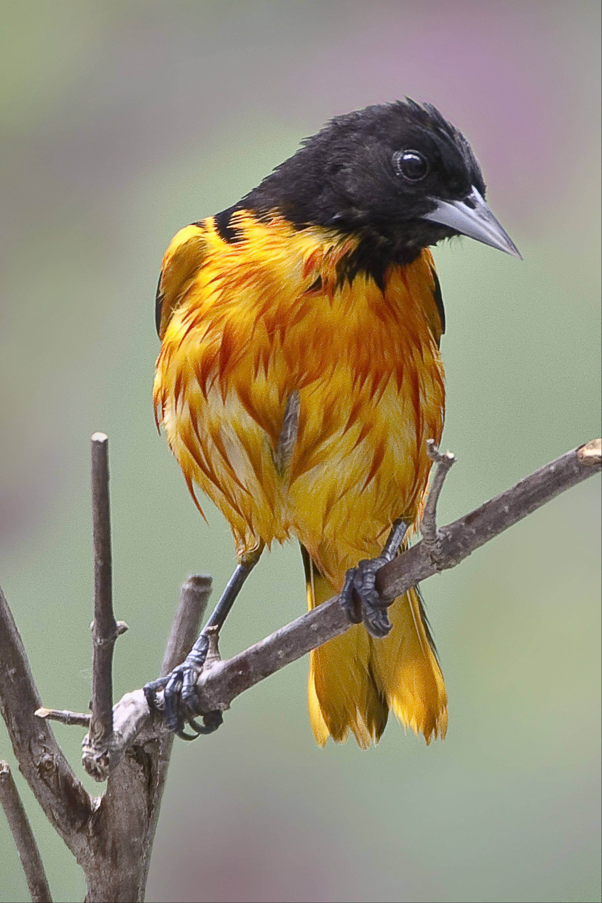 Of all the birds that come around, the Baltimore oriole has to take the grand prize for color.