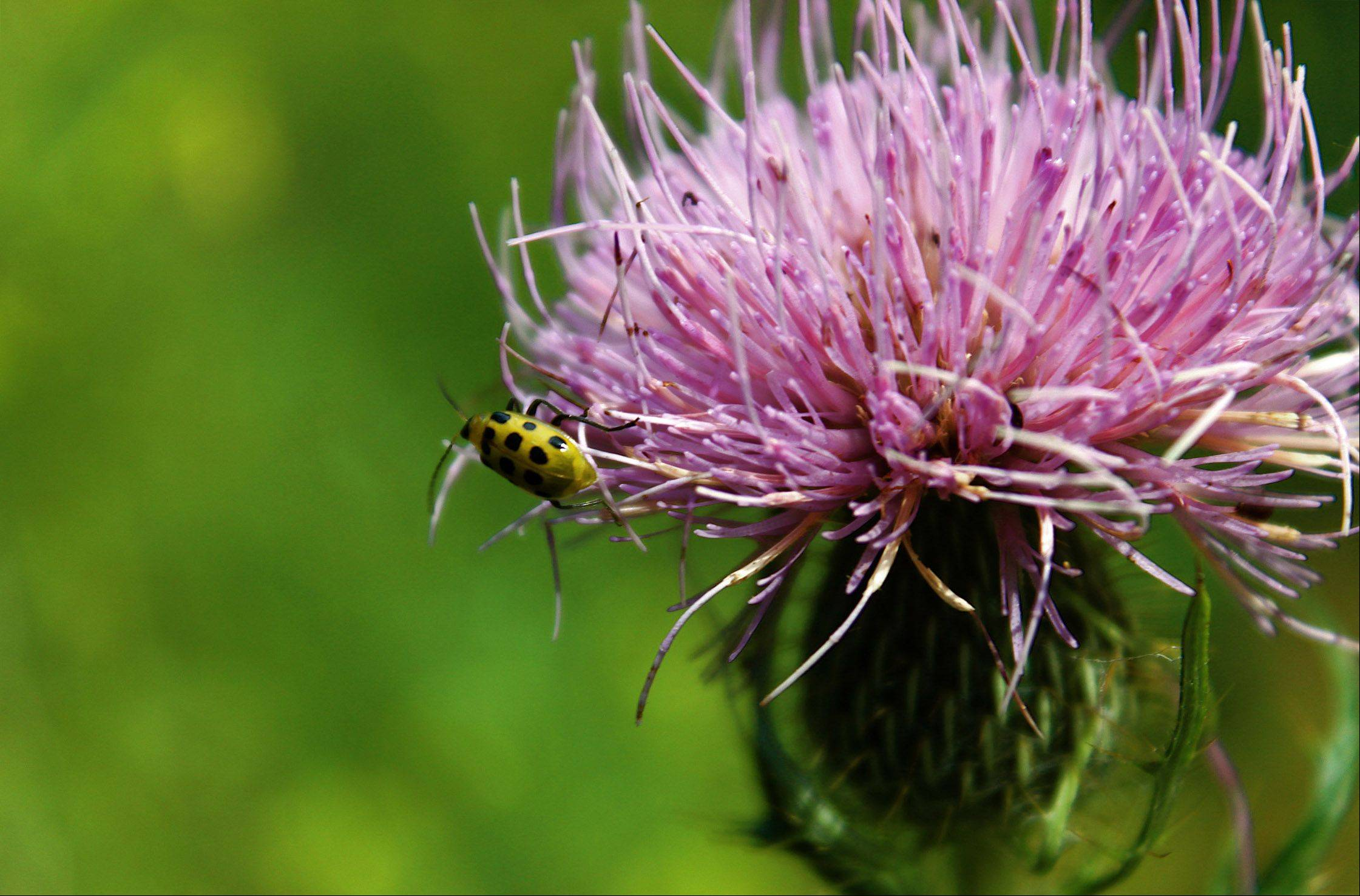 A curious insect investigates a lovely purple flower at Busse Woods in Elk Grove Village.