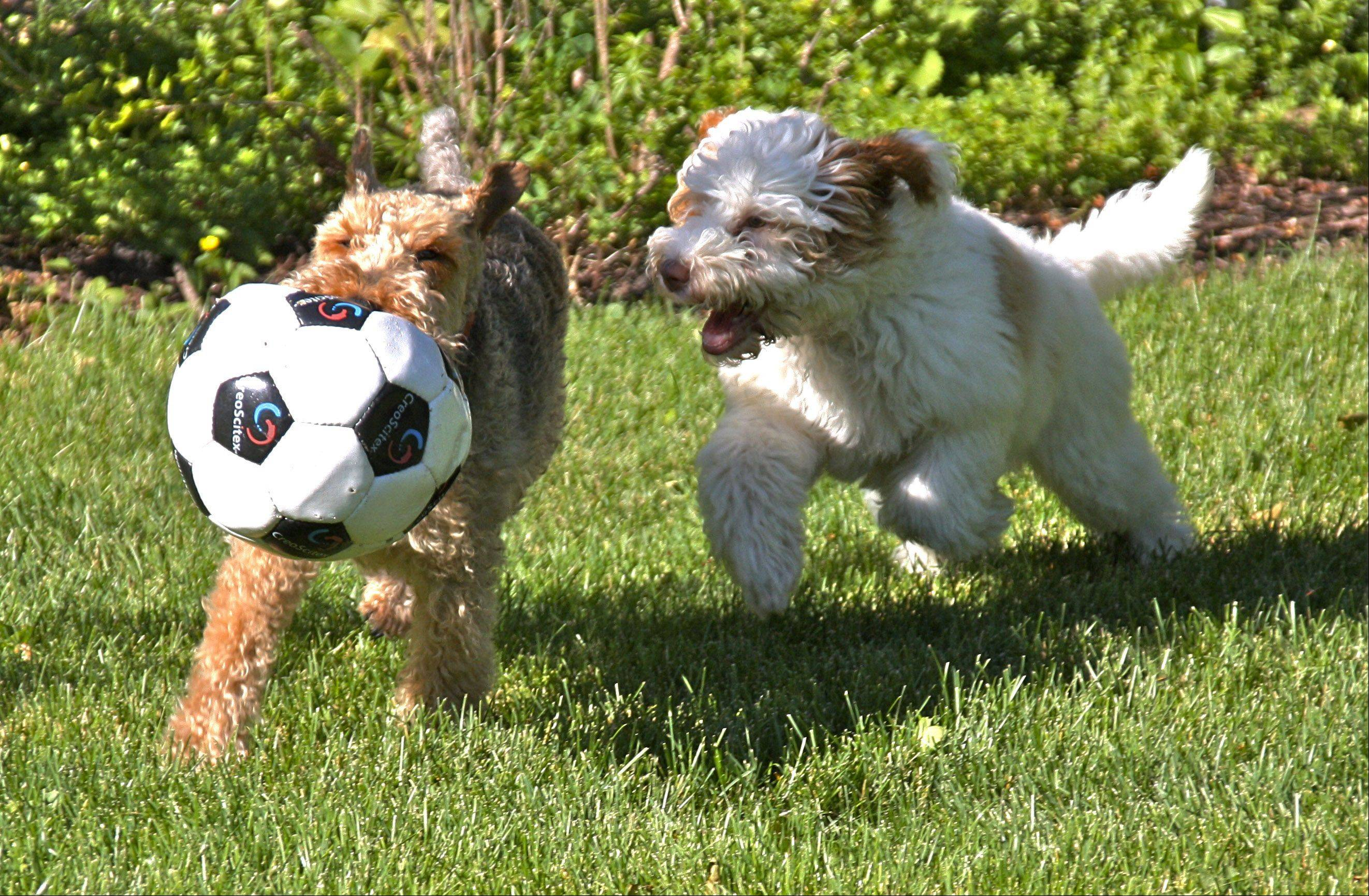 Winston, a Welsh terrier, and Jasper, a Labradoodle puppy, learn how to play soccer in Arlington Heights. The rule says no hands they didn't say anything about mouths.