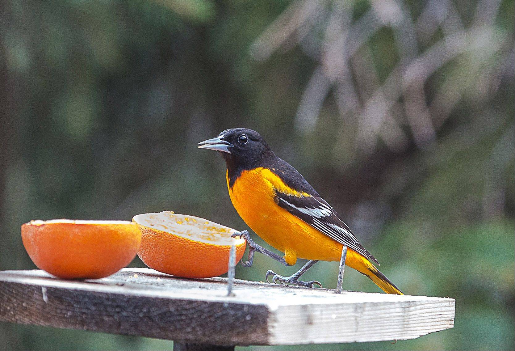 A male Oriole dines on oranges in an Ingleside backyard on April 30th.