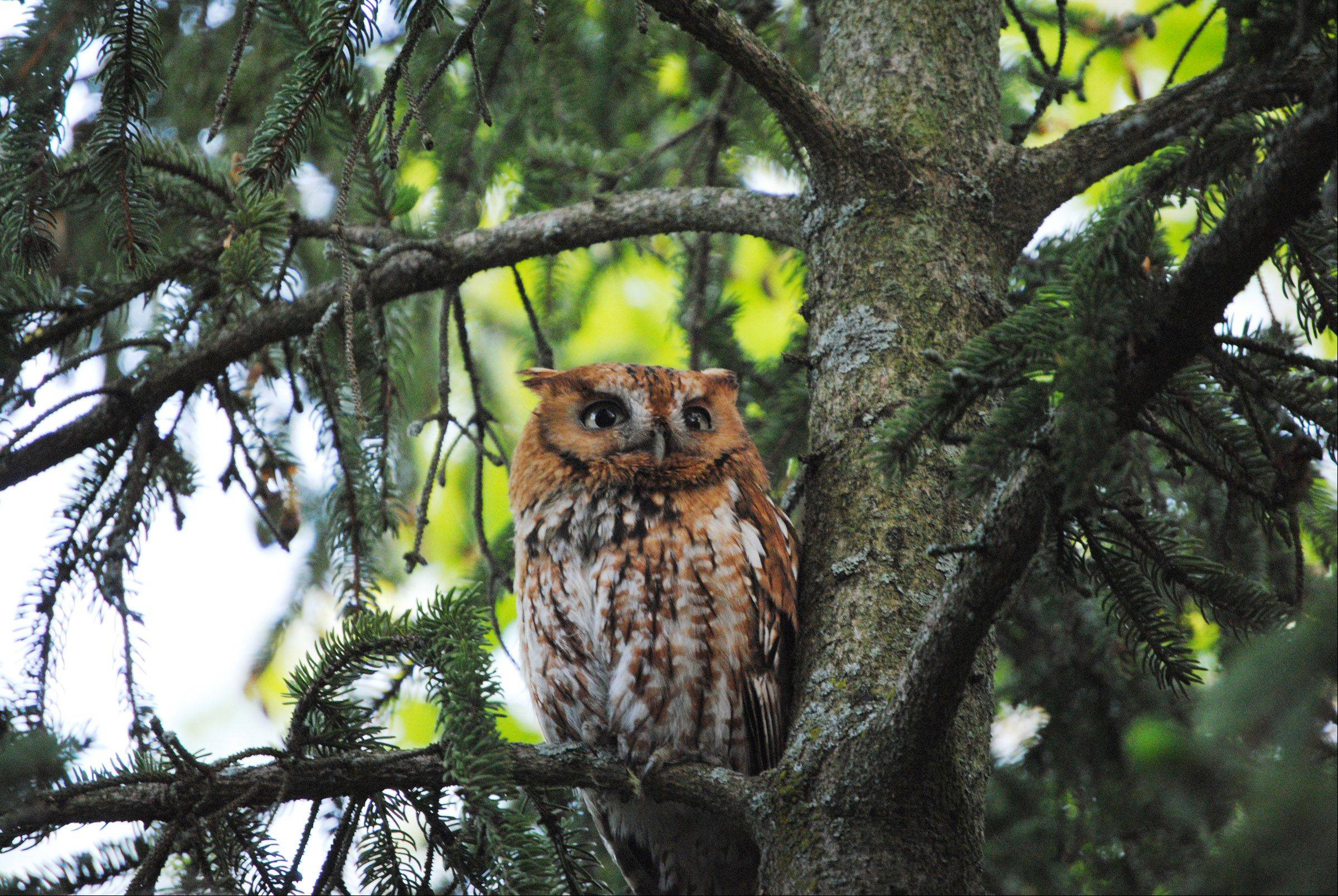 A mother screech owl looks for prey in an Antioch backyard last week.