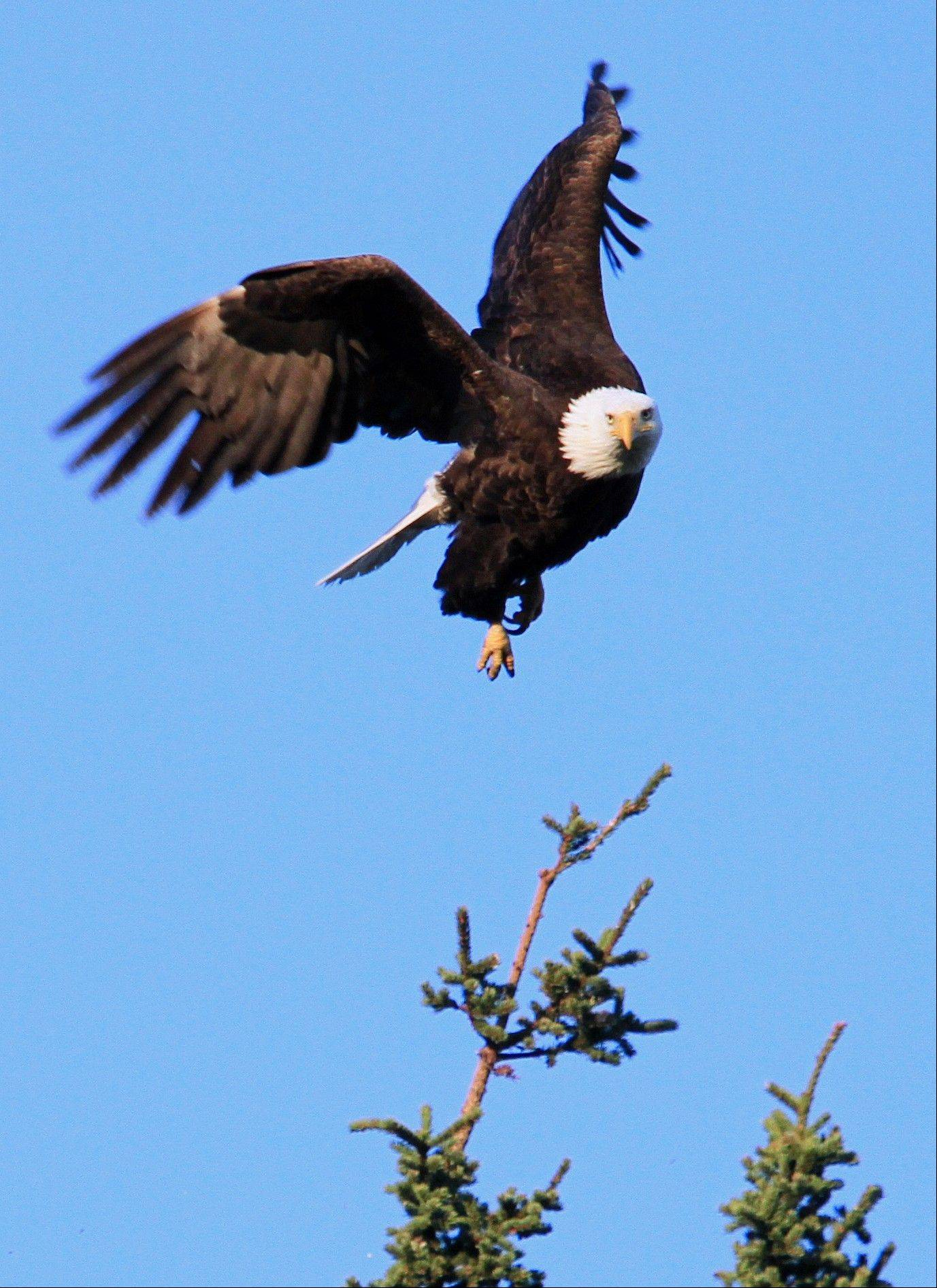 A bald eagle flaps its wings to lift off from a spruce tree last week near Sand Lake in Anchorage, Alaska.